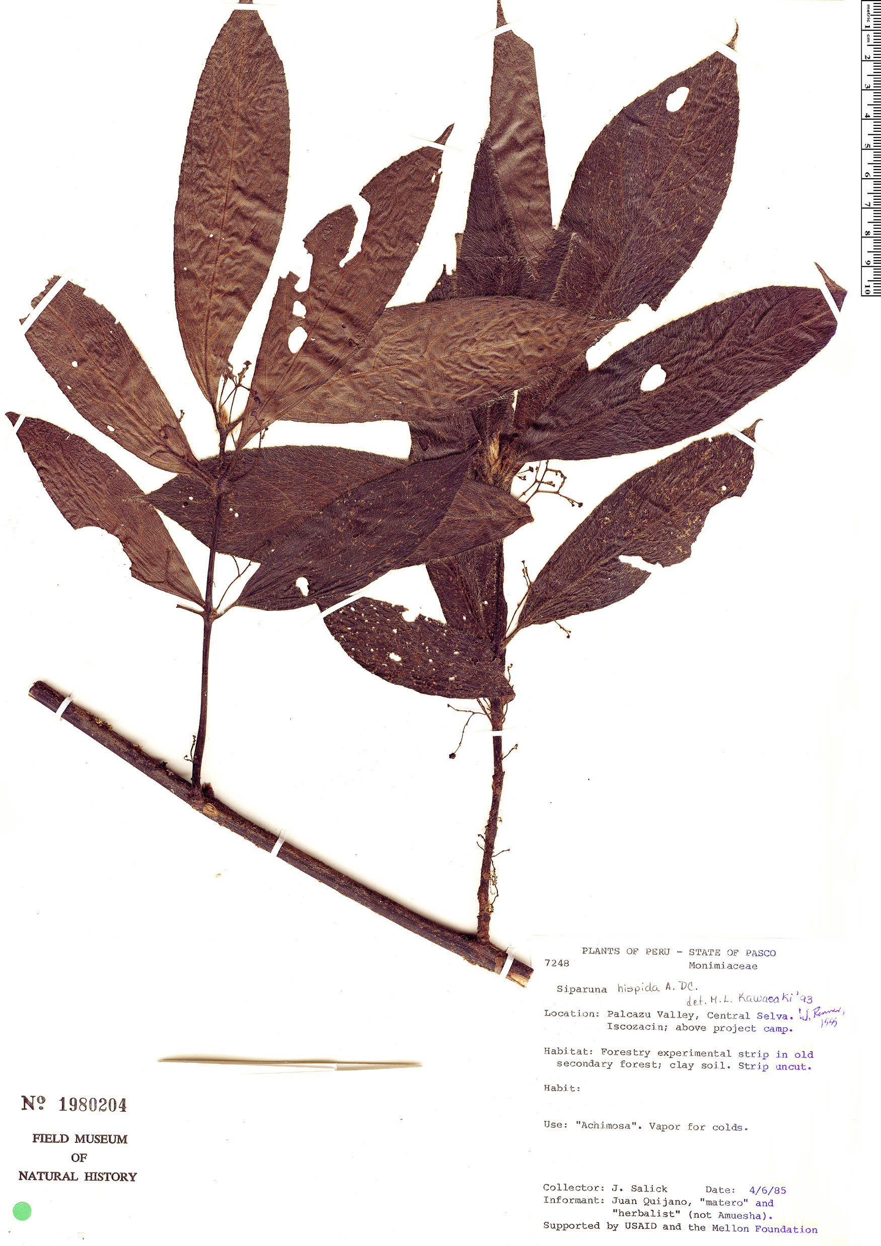 Espécime: Siparuna thecaphora
