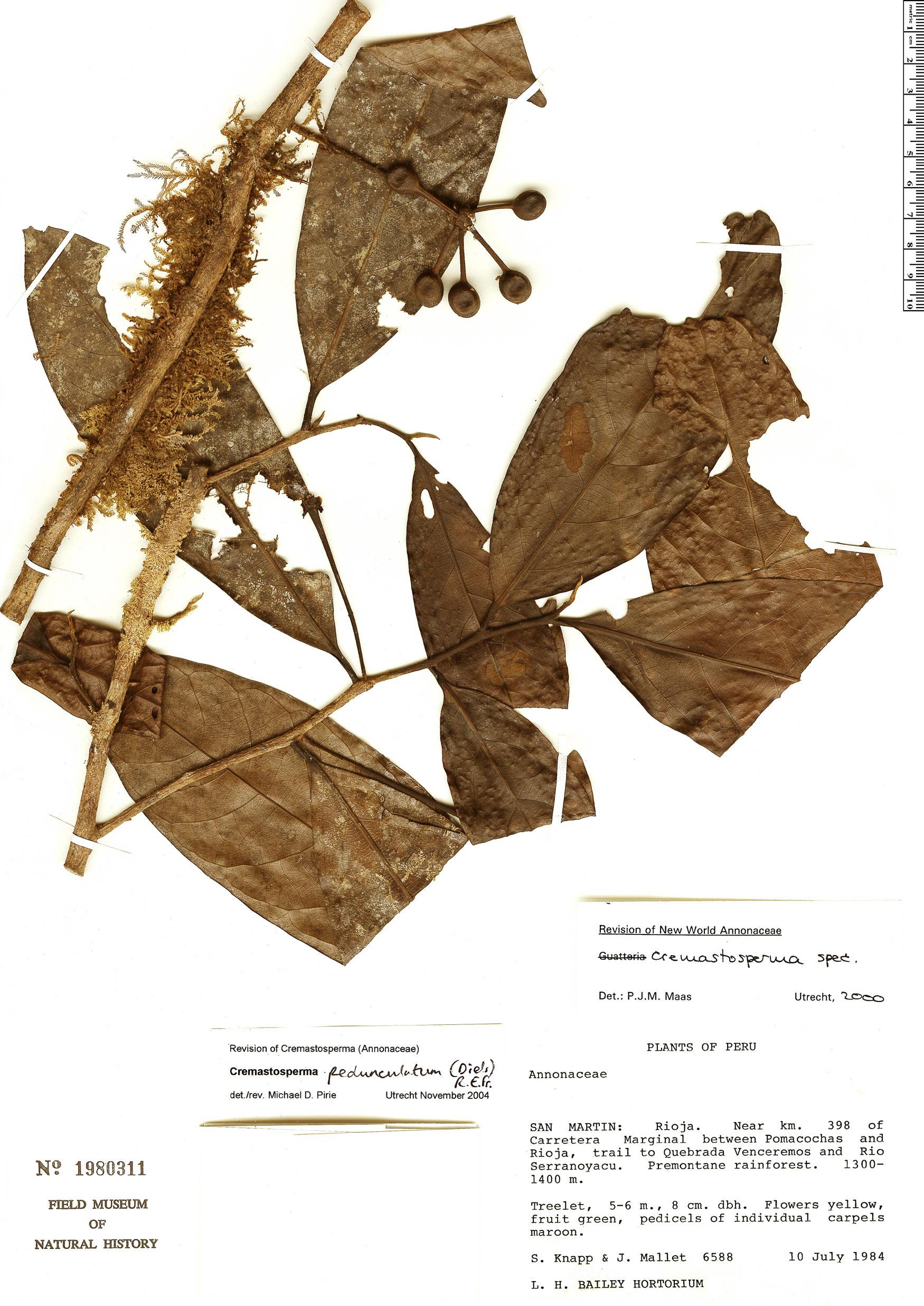 Espécime: Cremastosperma pedunculatum