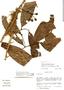 Cremastosperma pedunculatum (Diels) R. E. Fr., Peru, S. D. Knapp 6588, F