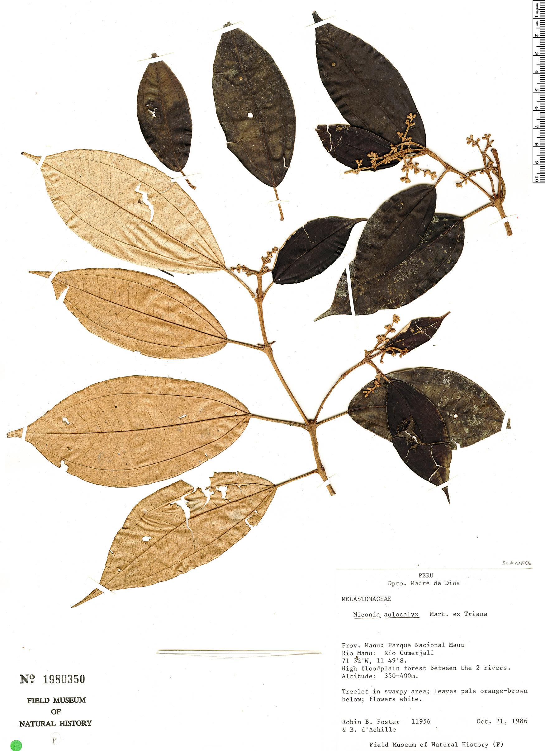 Specimen: Miconia aulocalyx