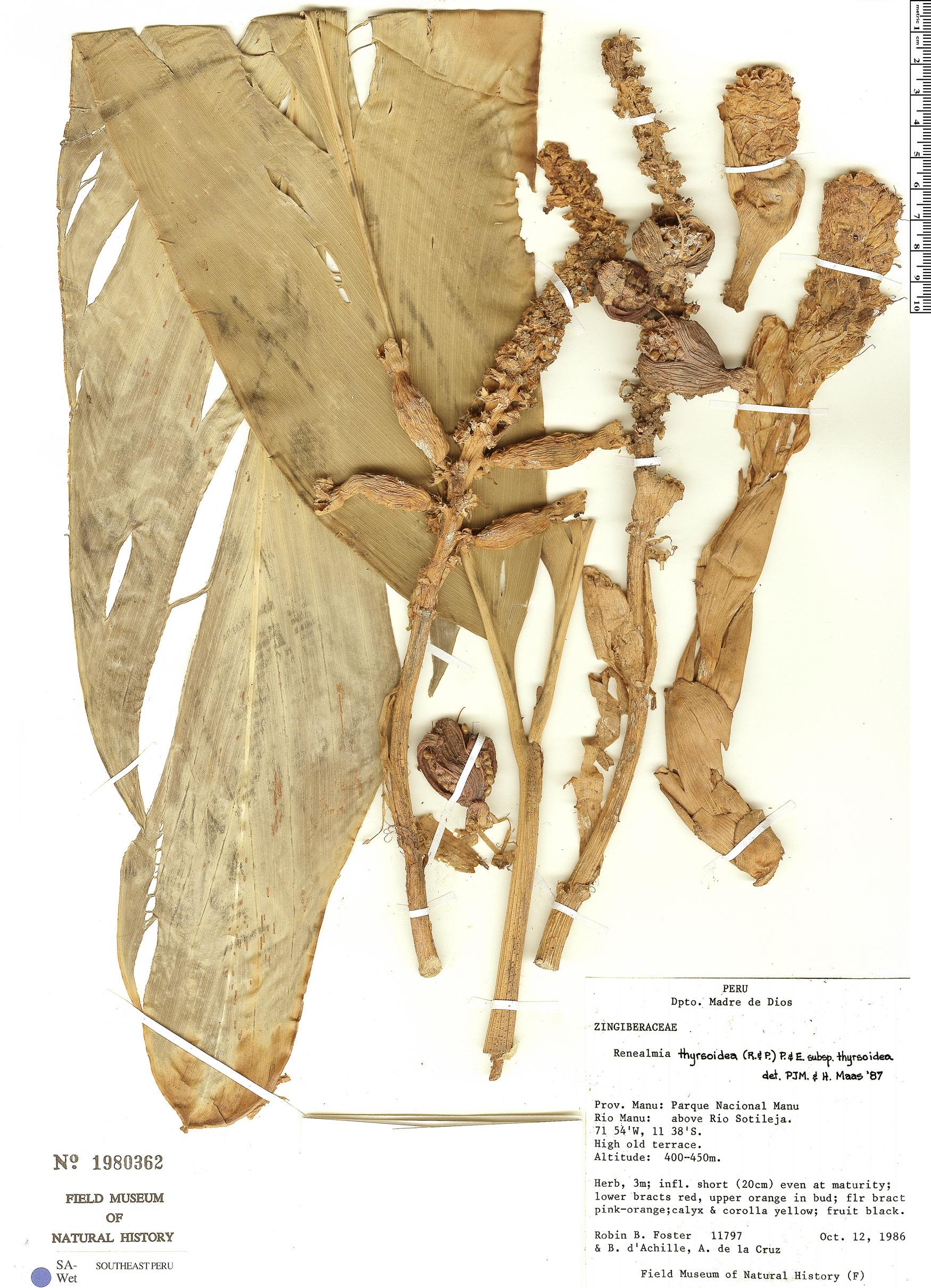 Espécime: Renealmia thyrsoidea