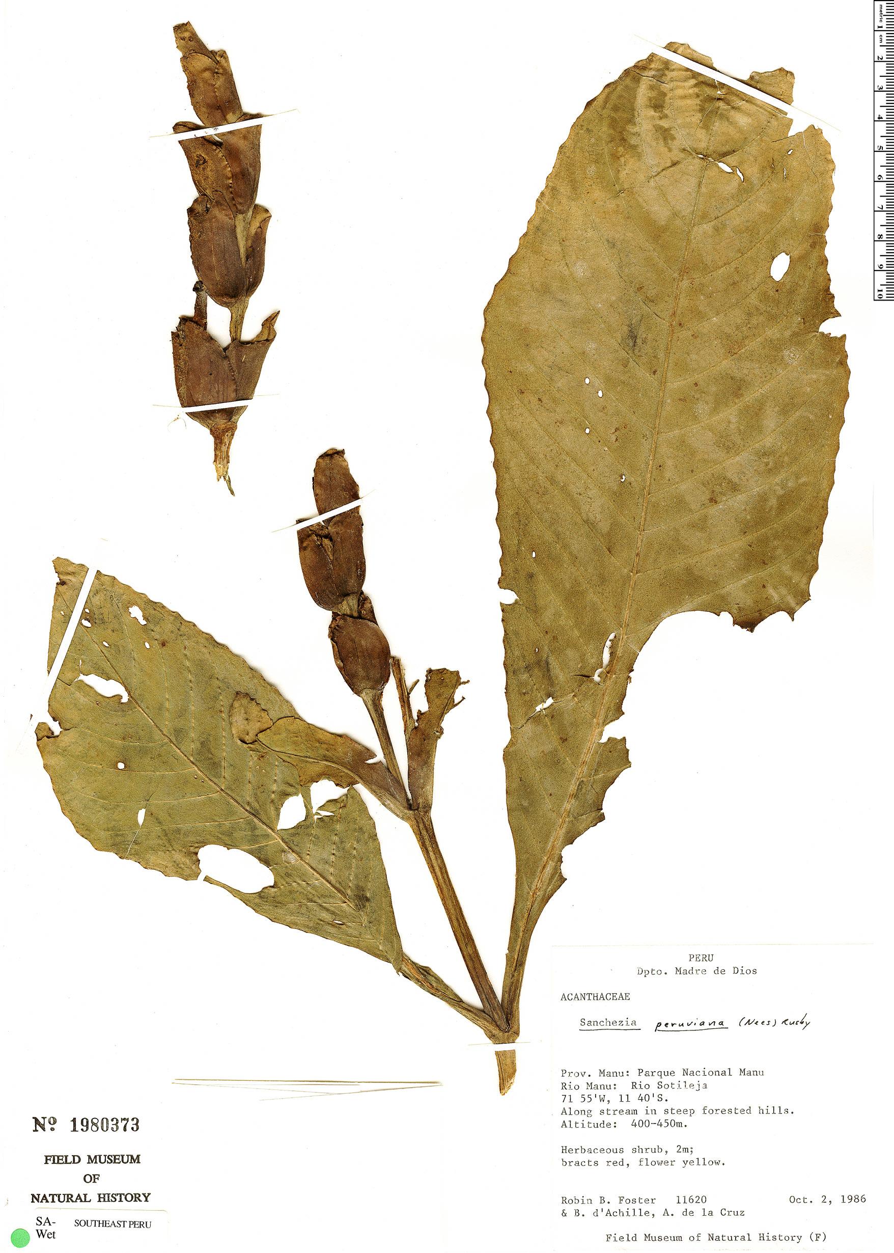 Specimen: Sanchezia oblonga