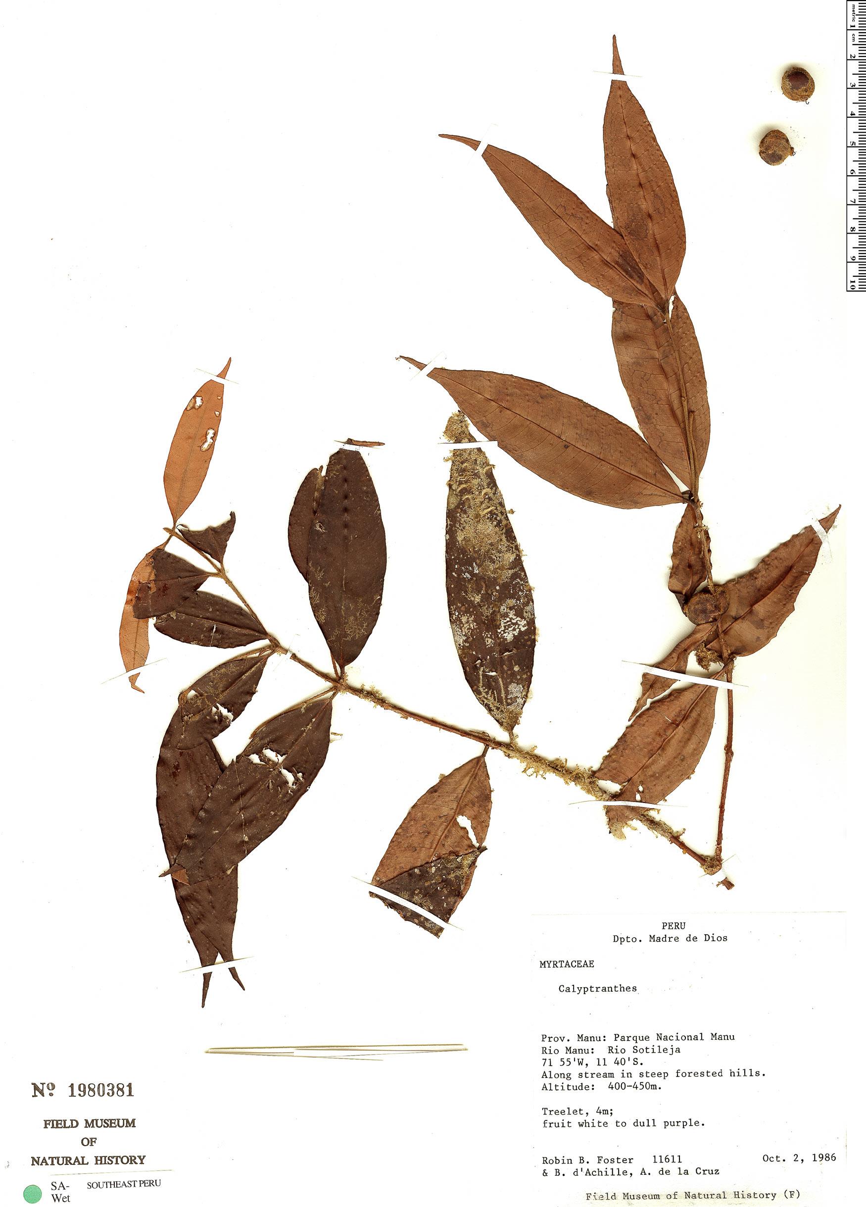 Specimen: Calyptranthes