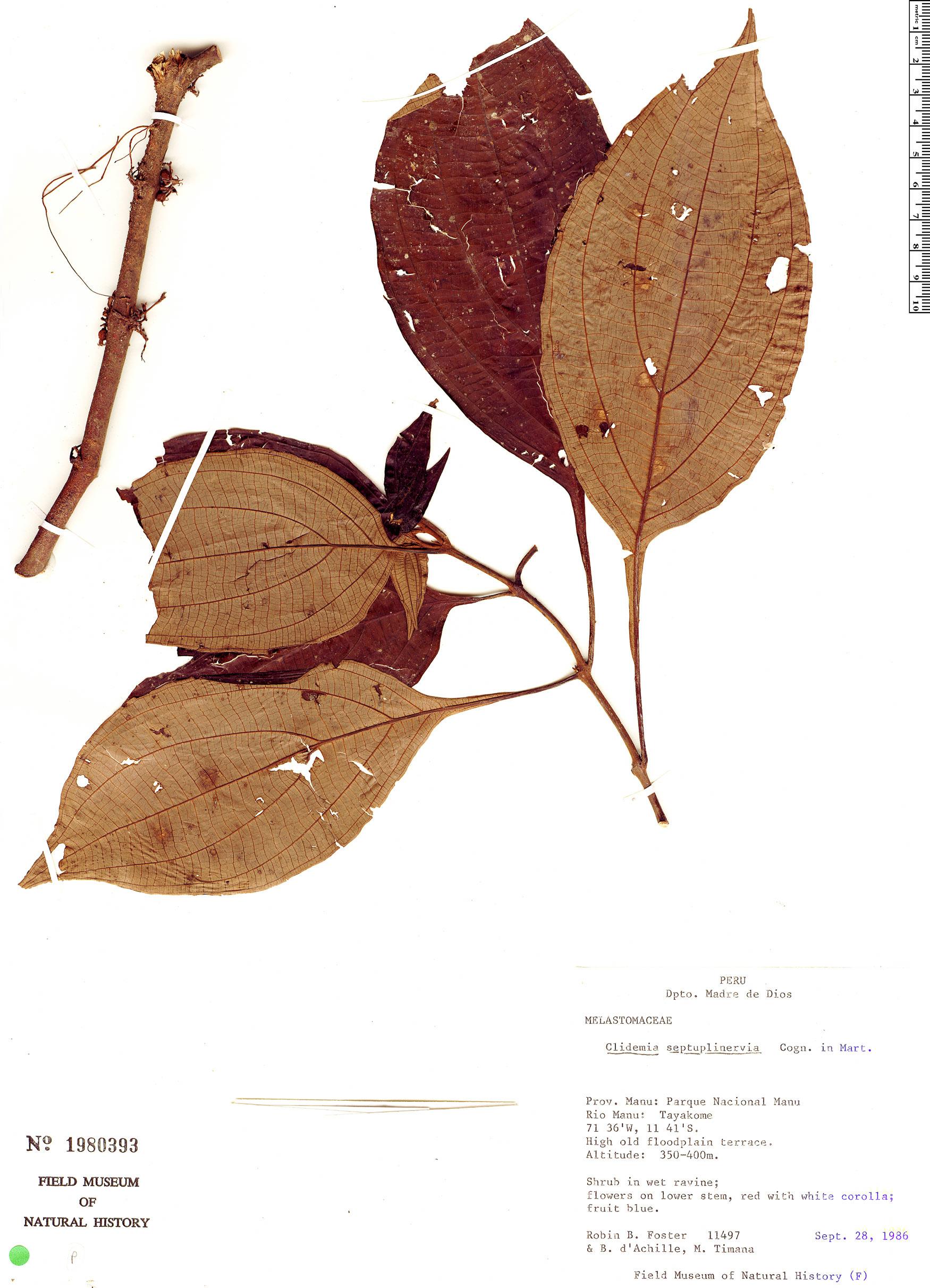 Specimen: Clidemia septuplinervia