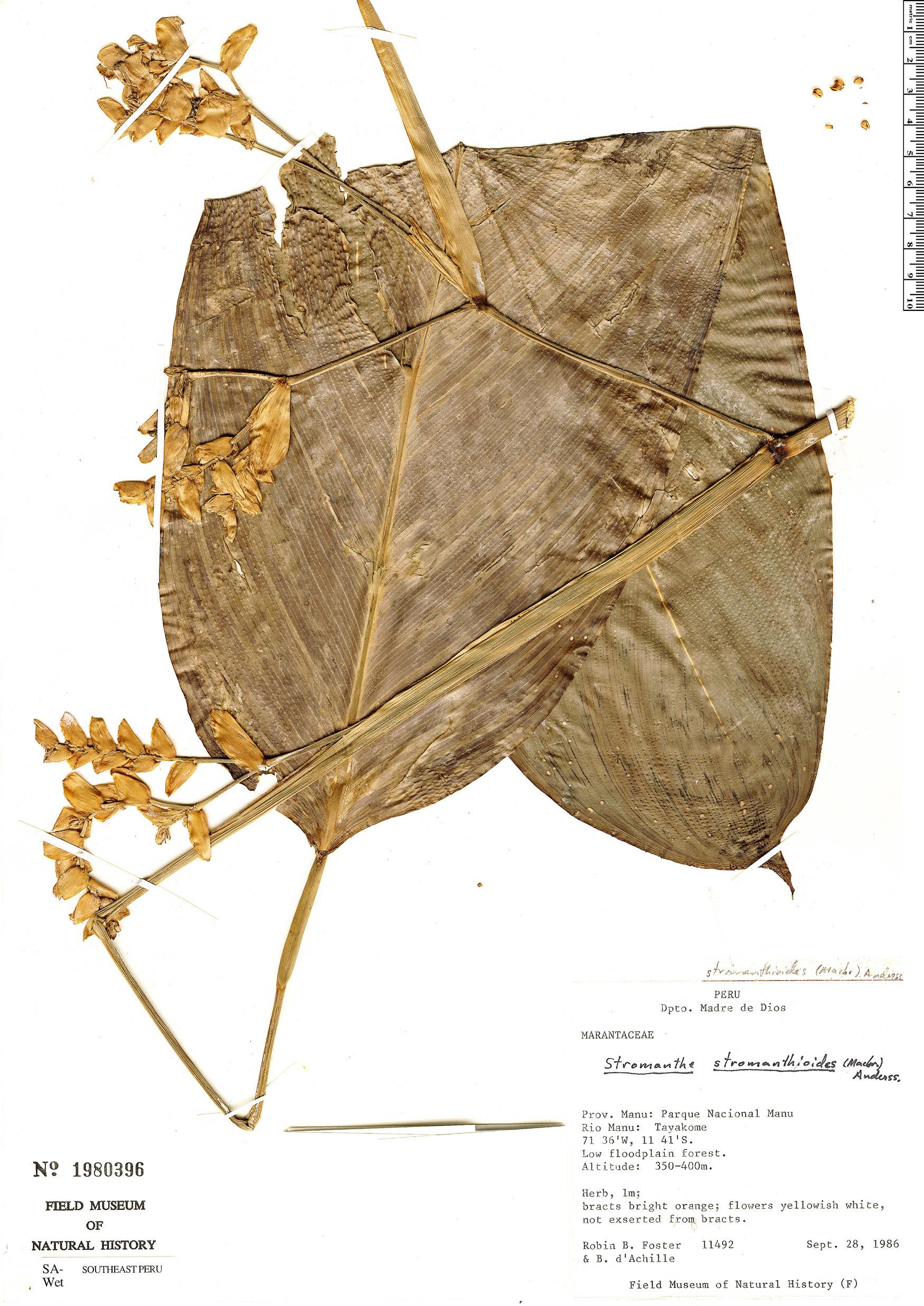 Specimen: Stromanthe stromanthoides