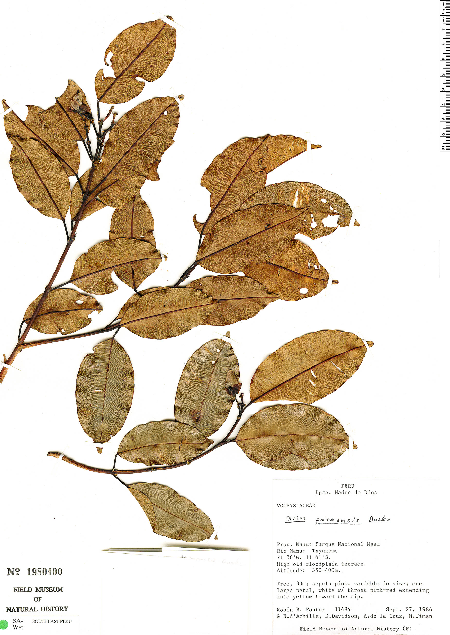 Specimen: Qualea paraensis