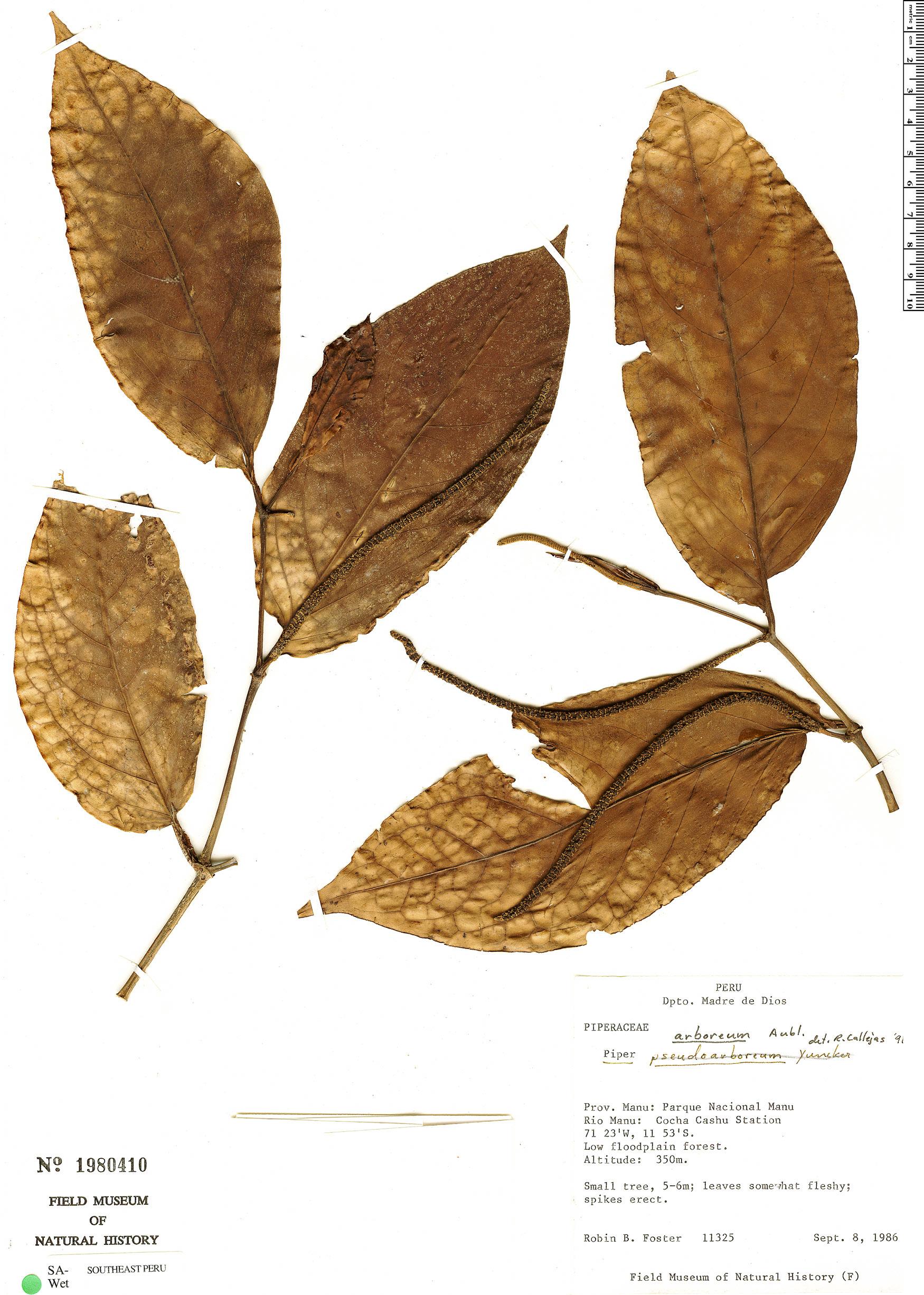 Specimen: Piper arboreum