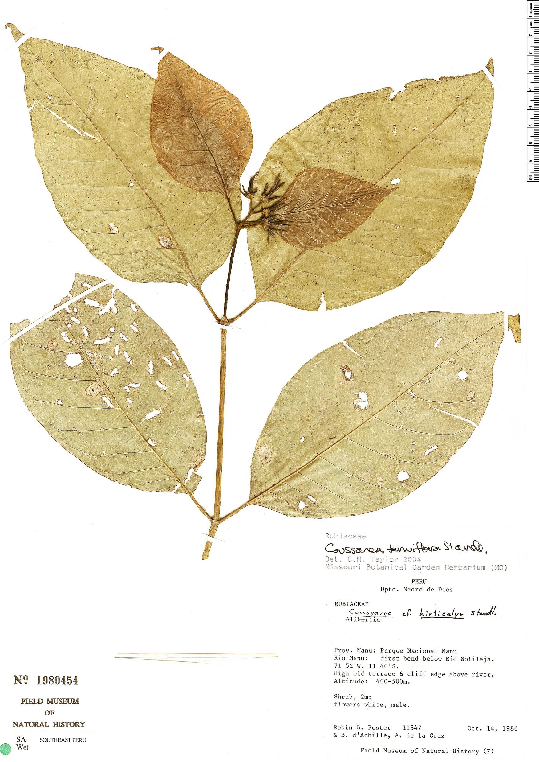 Specimen: Coussarea tenuiflora