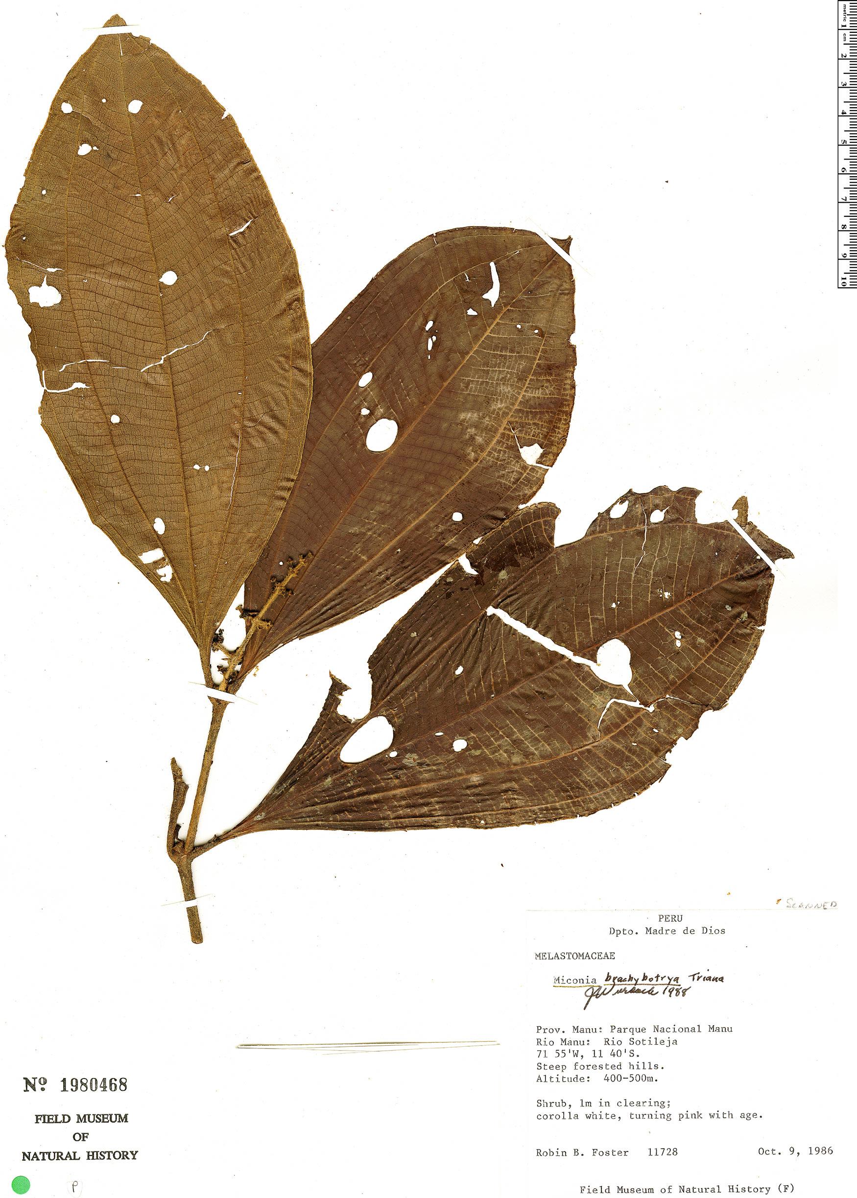 Specimen: Miconia brachybotrya