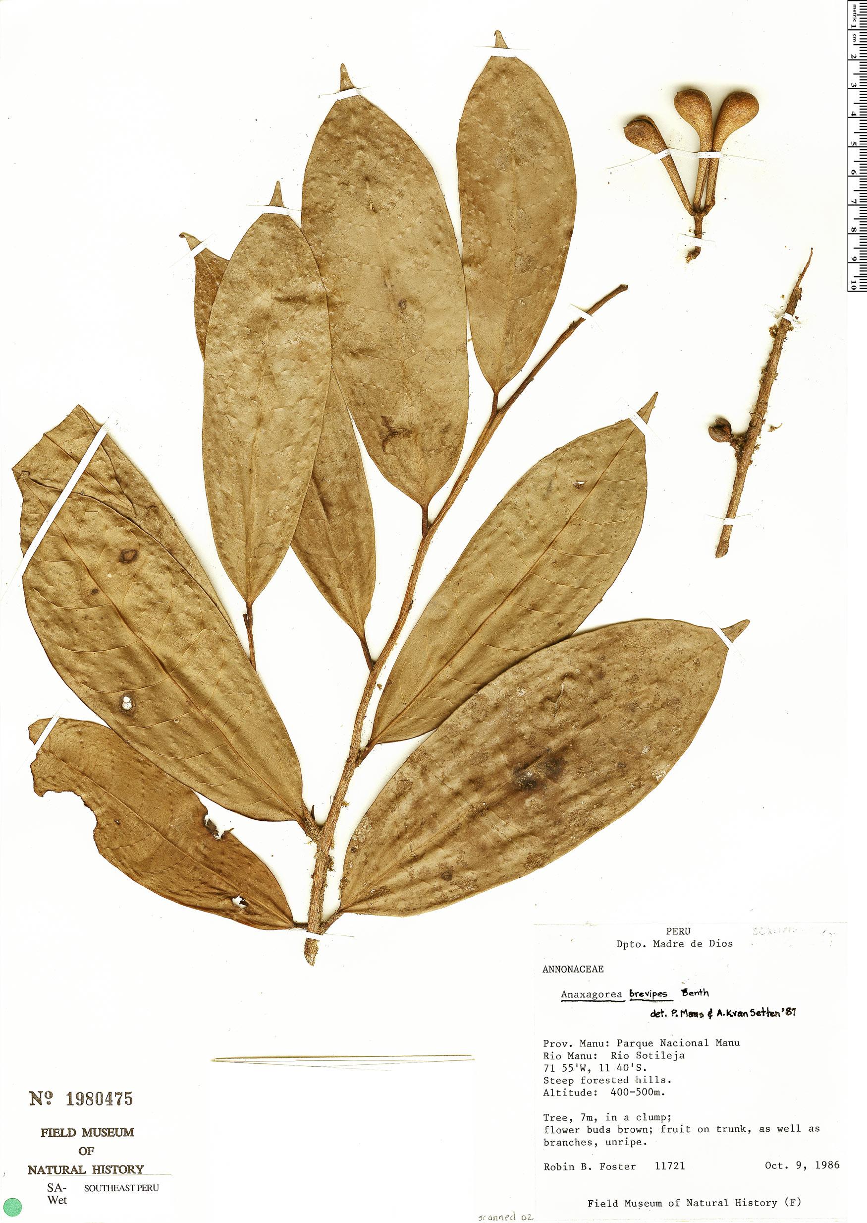 Specimen: Anaxagorea brevipes