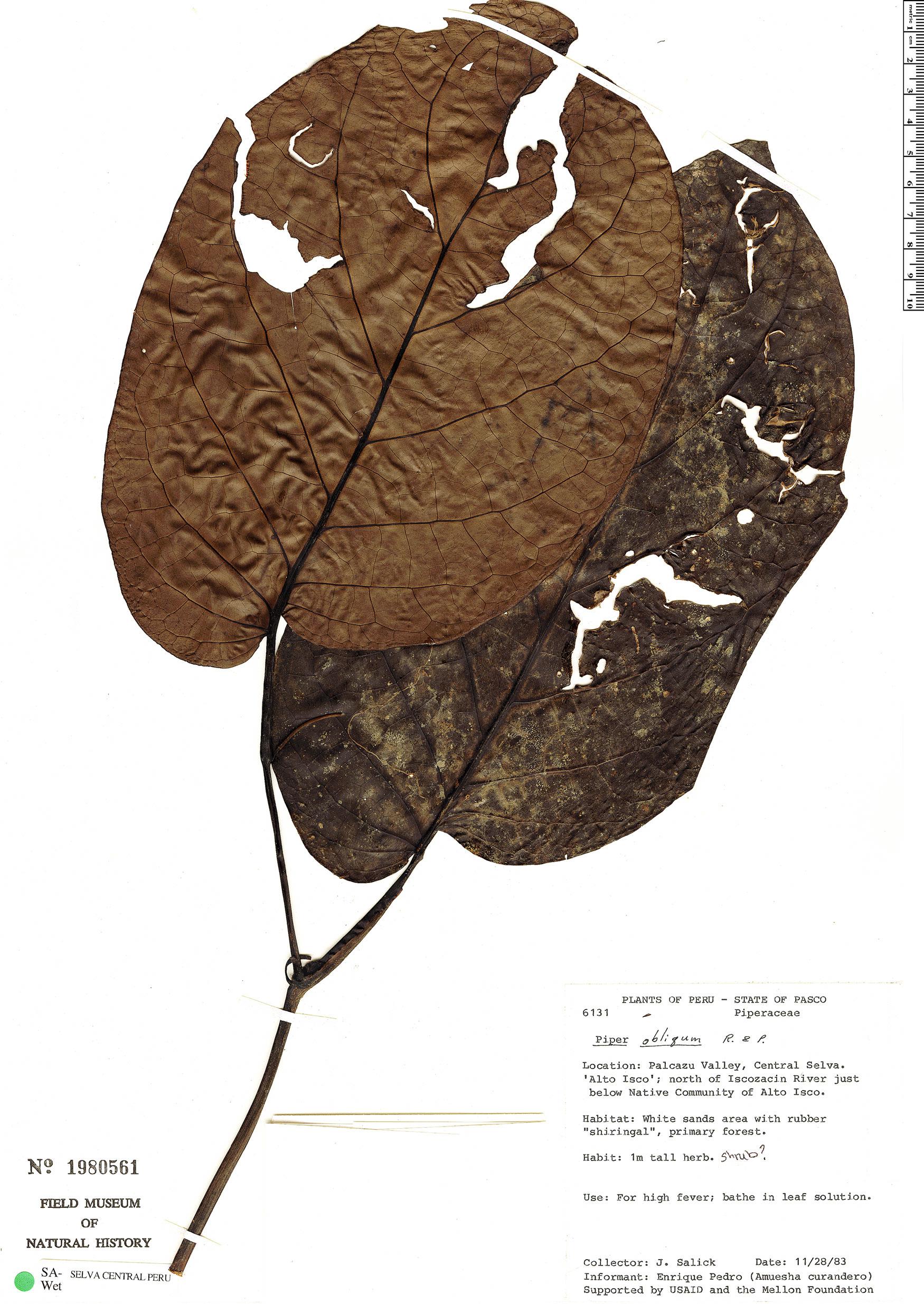 Specimen: Piper obliquum