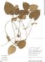 Geophila cordifolia Miq., Peru, J. Salick 6134, F