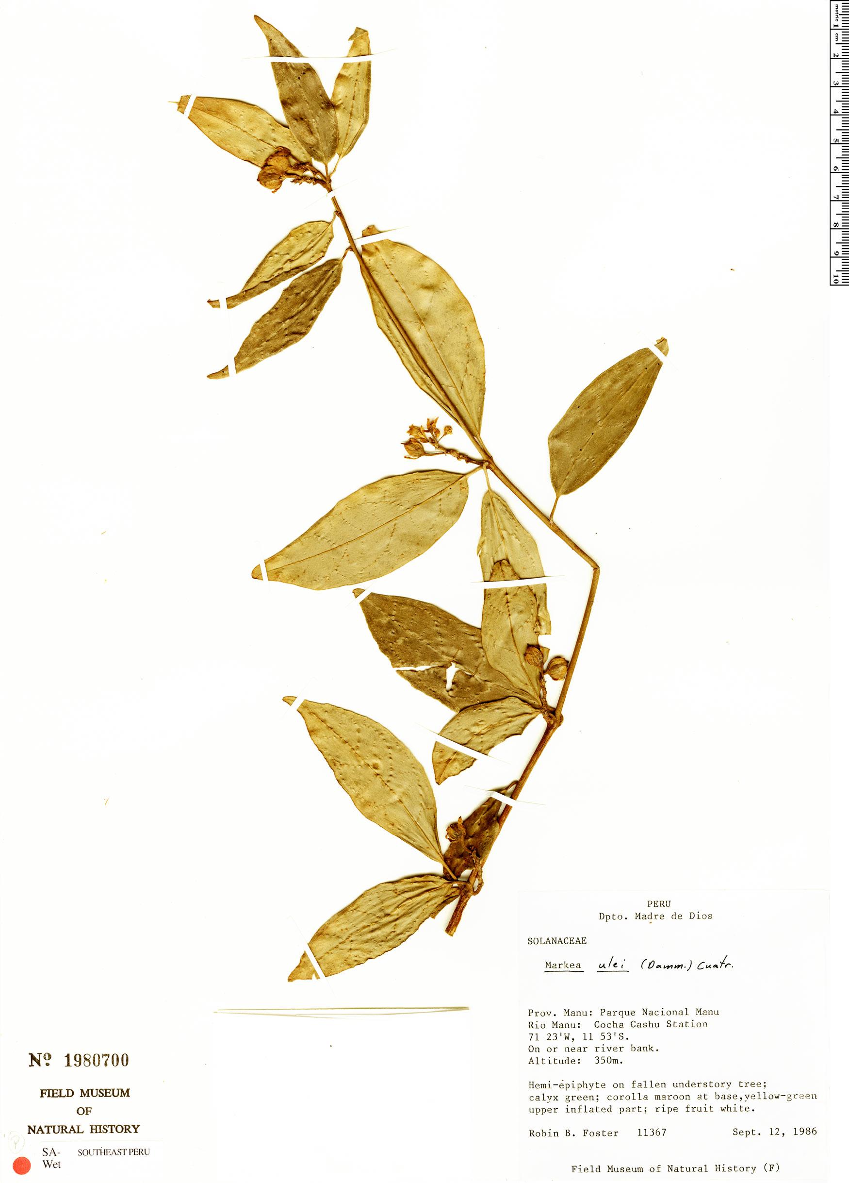 Specimen: Markea ulei