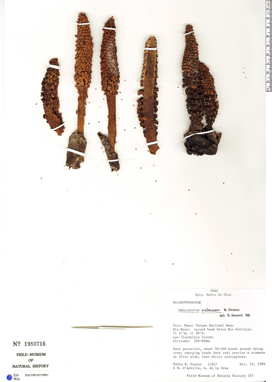 Specimen: Ombrophytum violaceum