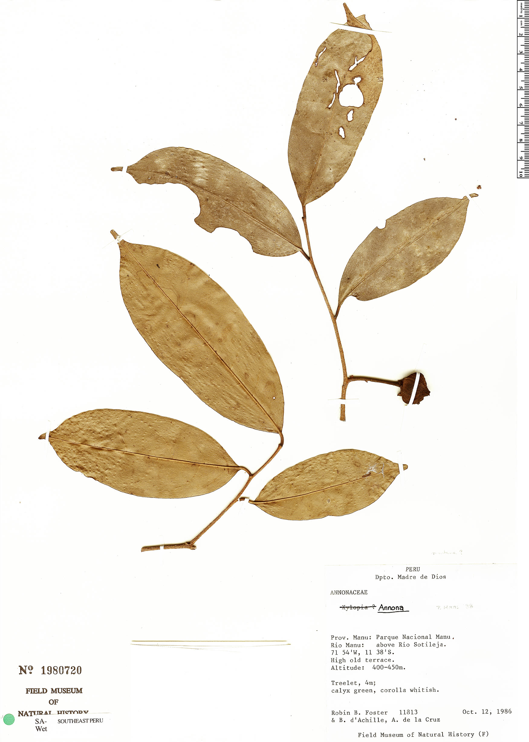 Specimen: Annona