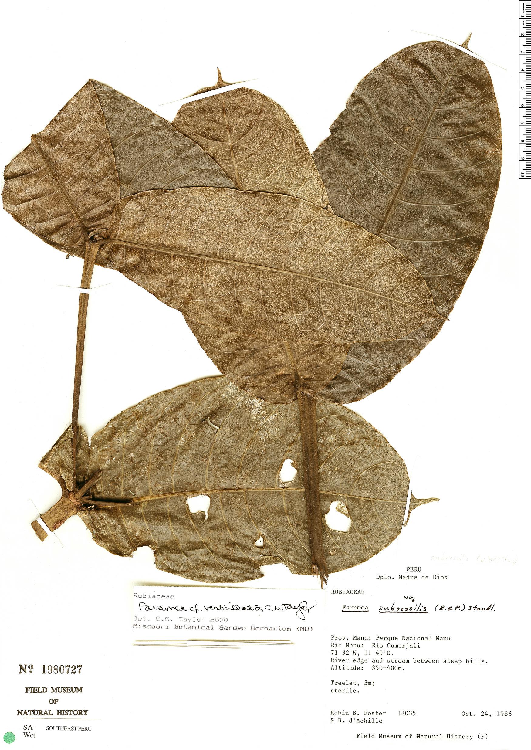 Specimen: Faramea verticillata