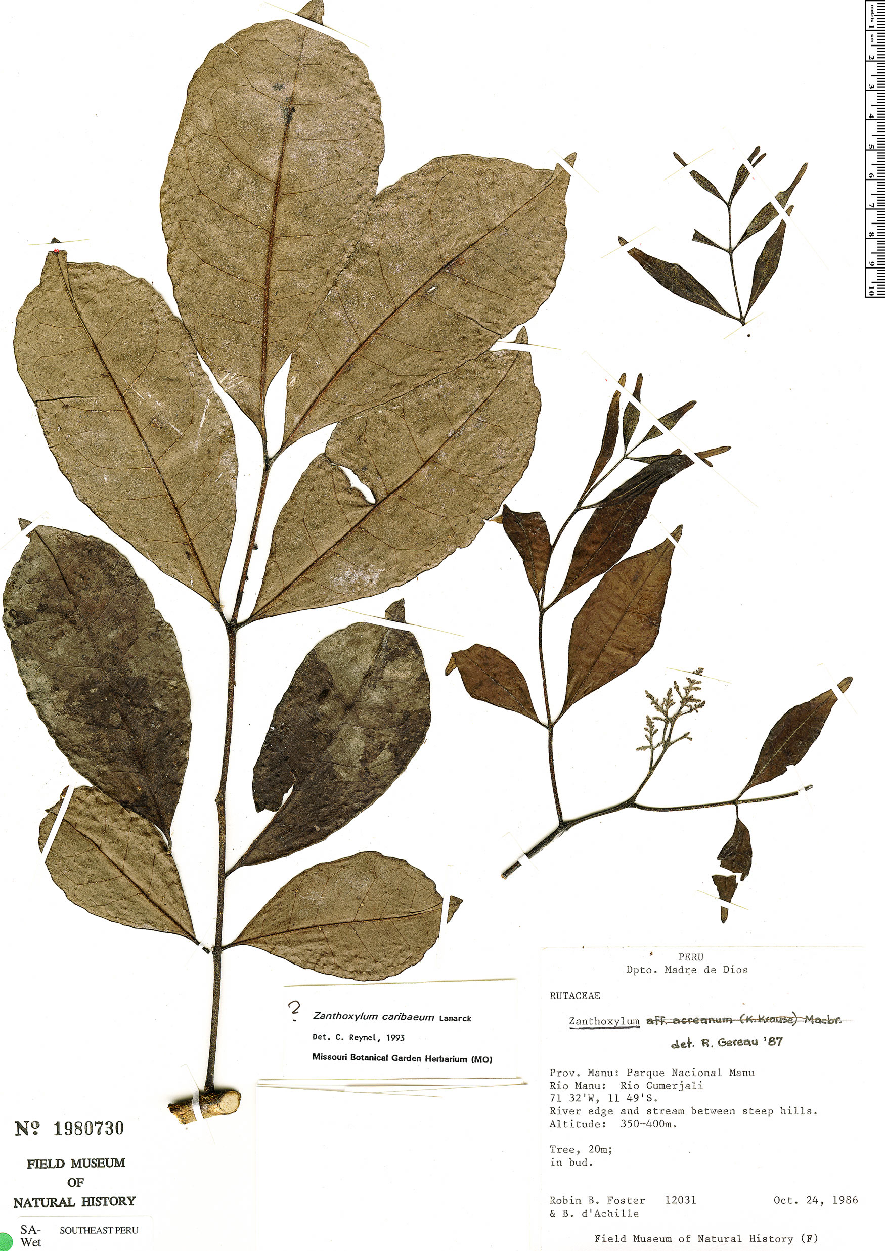 Specimen: Zanthoxylum caribaeum