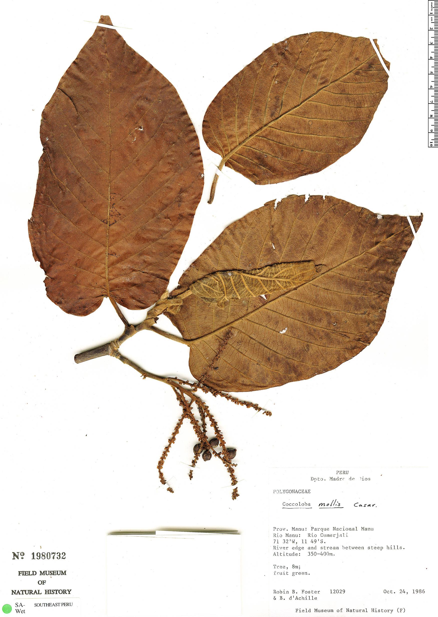Espécime: Coccoloba mollis