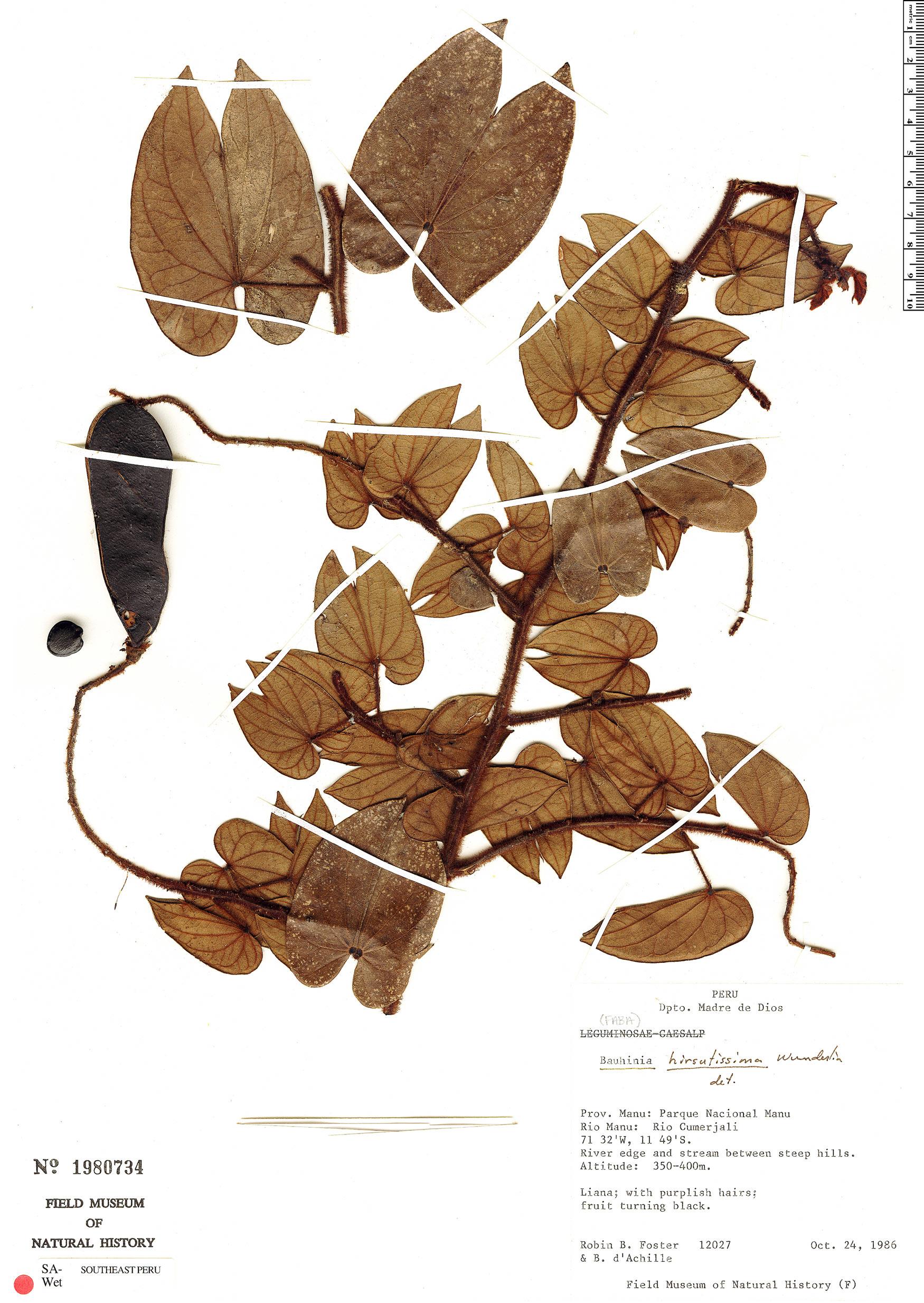 Specimen: Bauhinia hirsutissima