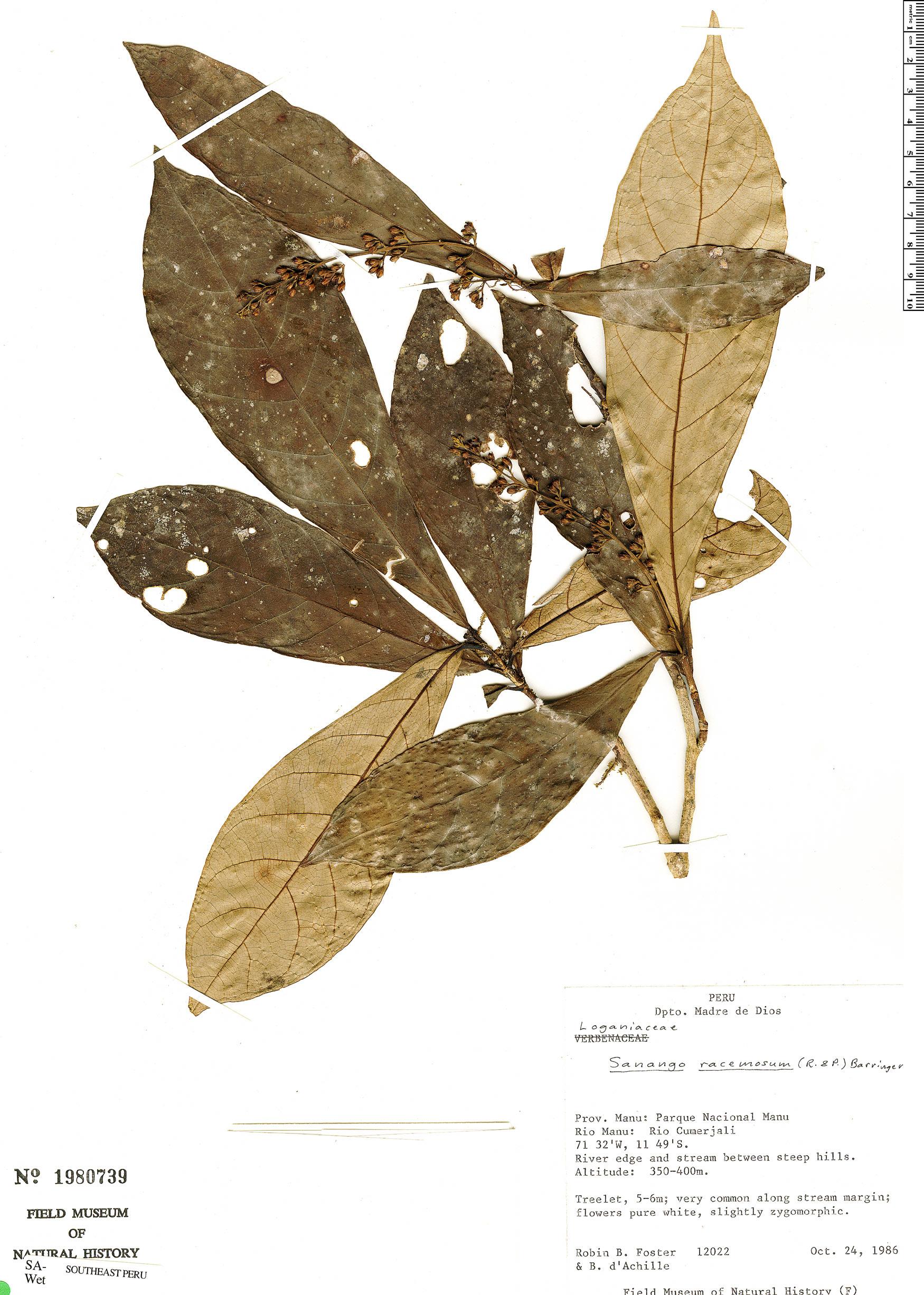 Specimen: Sanango racemosum