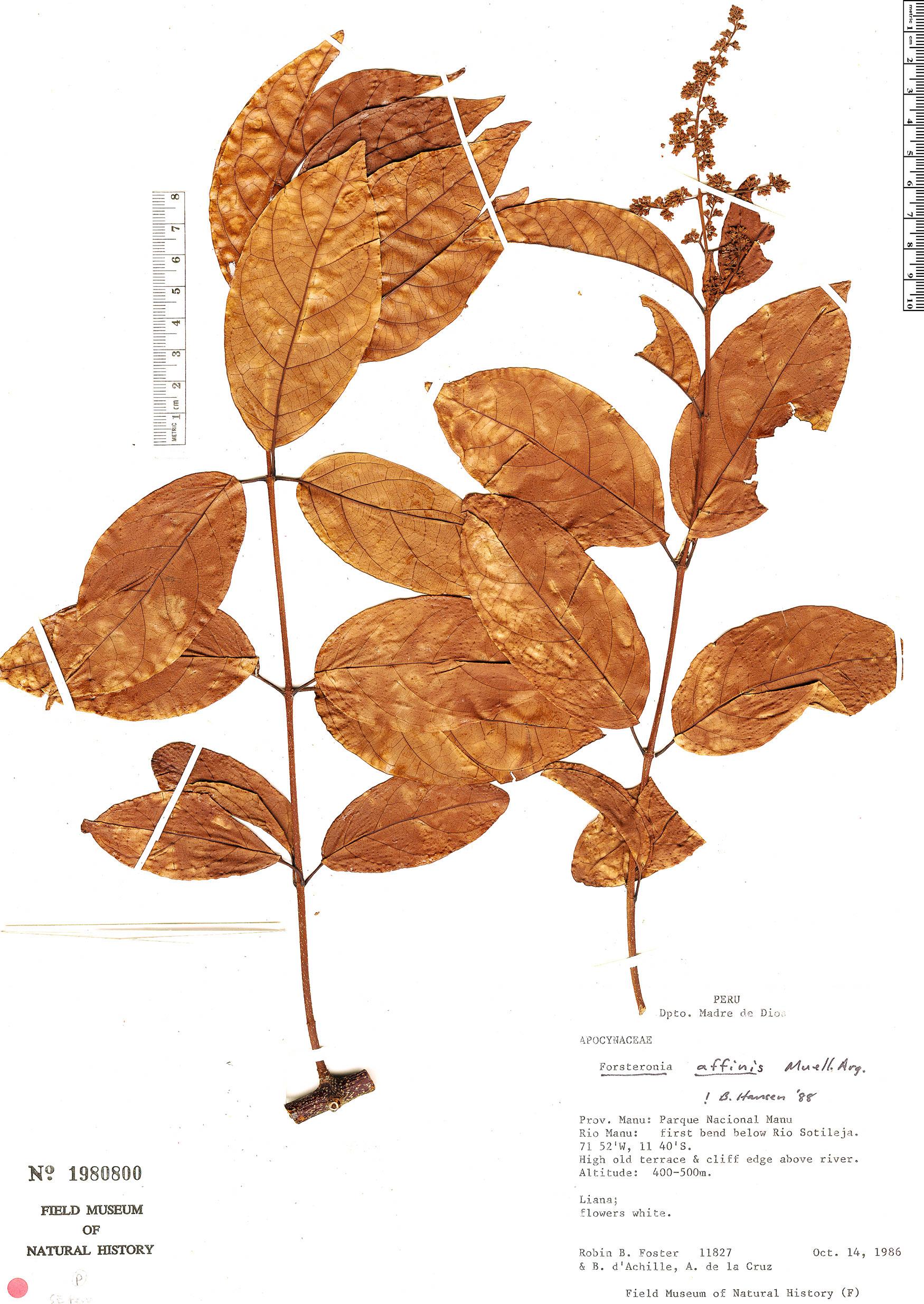 Espécime: Forsteronia affinis