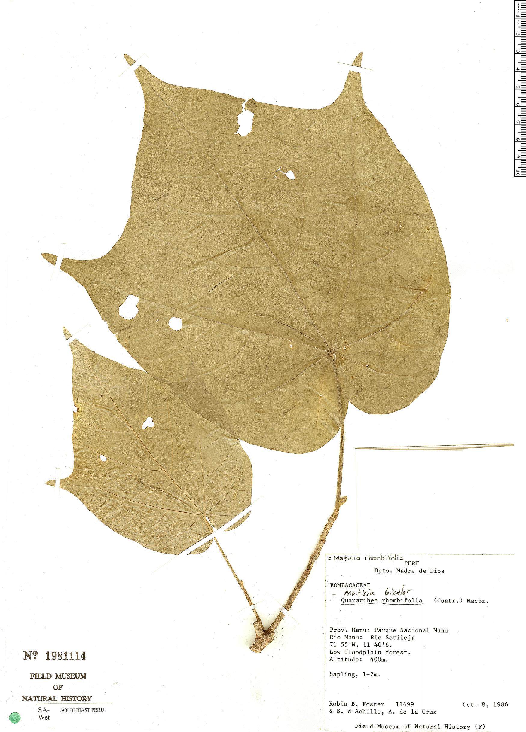 Specimen: Matisia bicolor