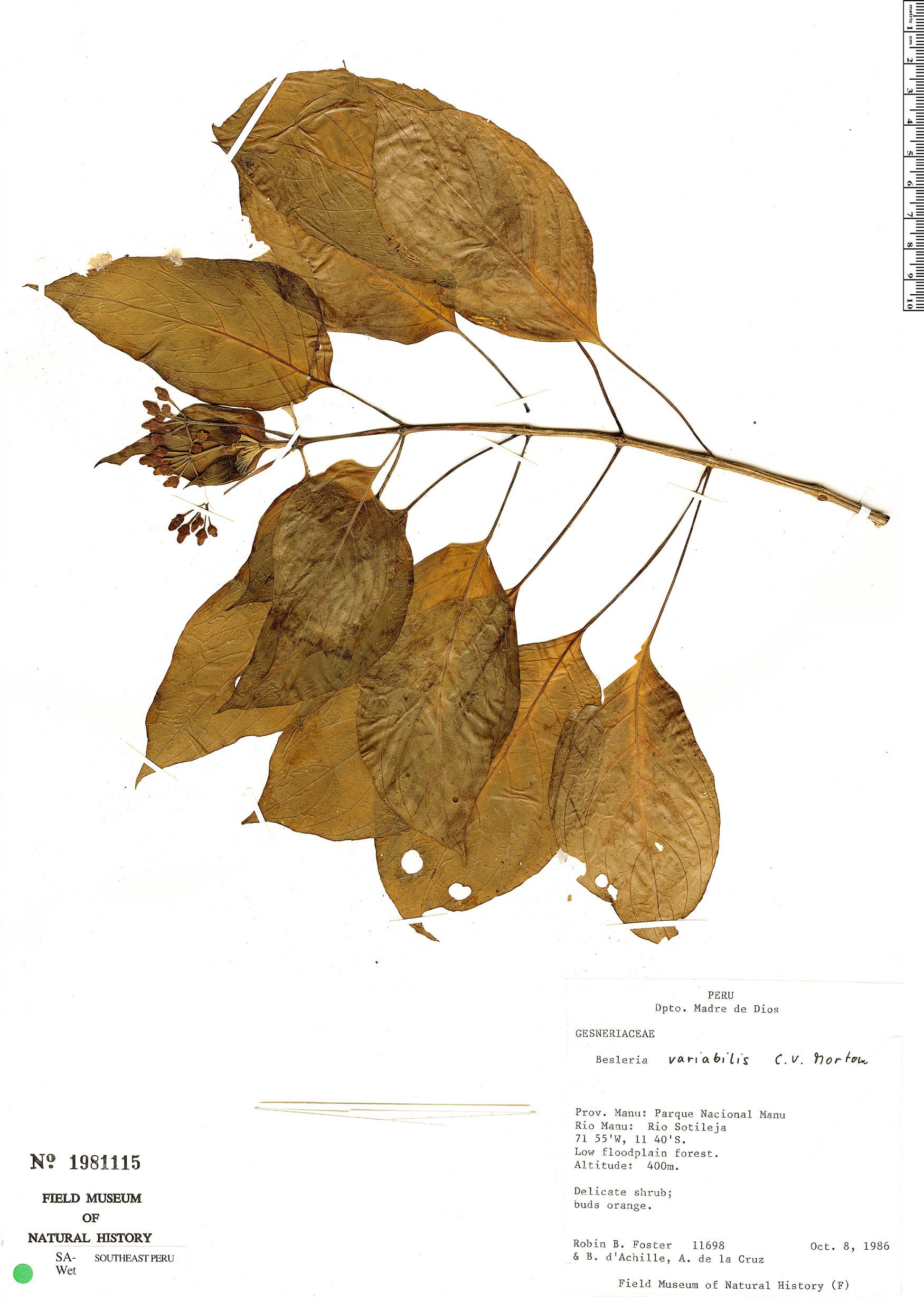 Specimen: Besleria variabilis