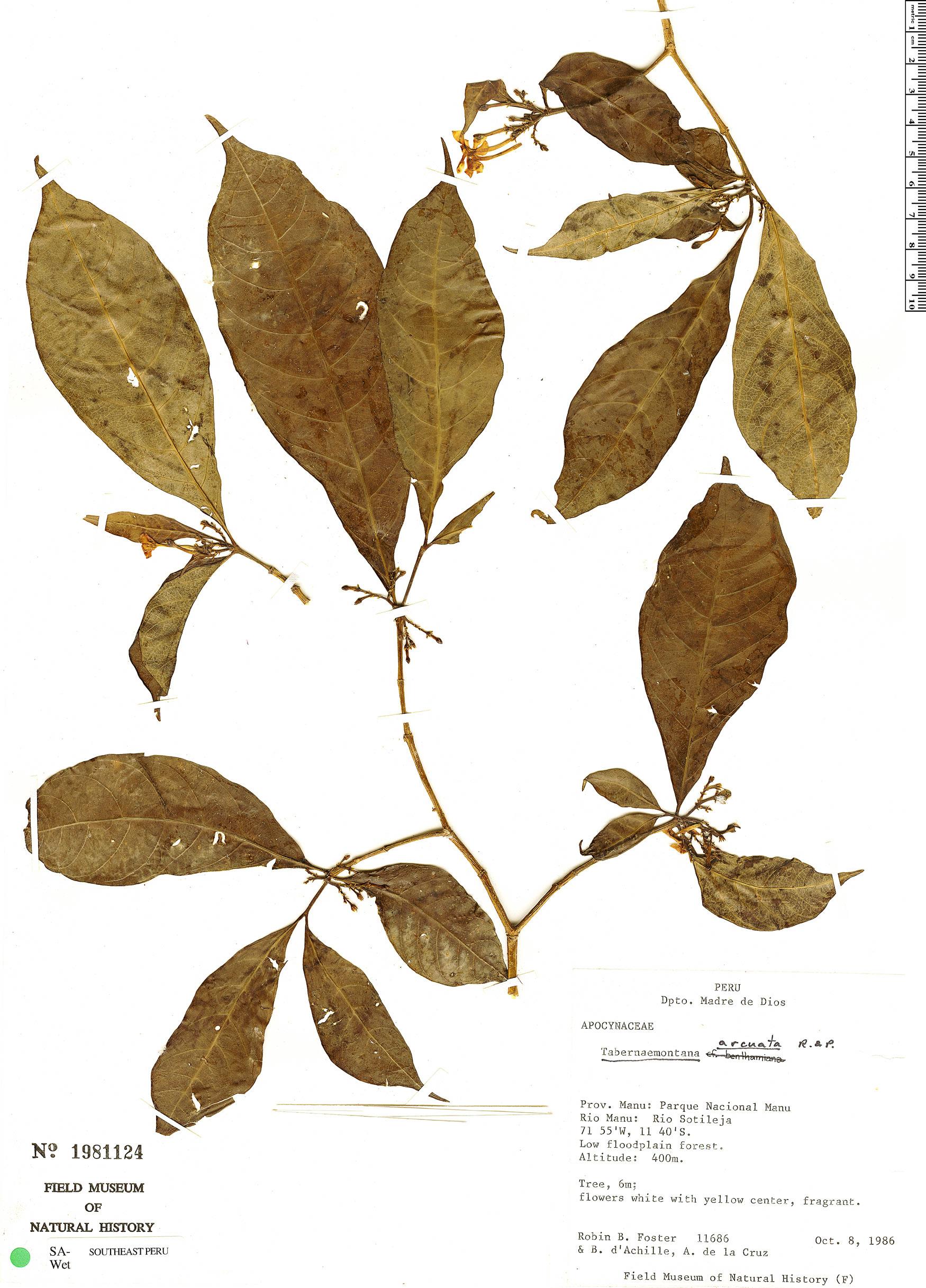 Specimen: Tabernaemontana vanheurckii