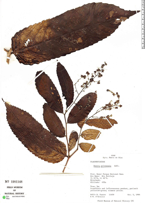 Specimen: Banara guianensis
