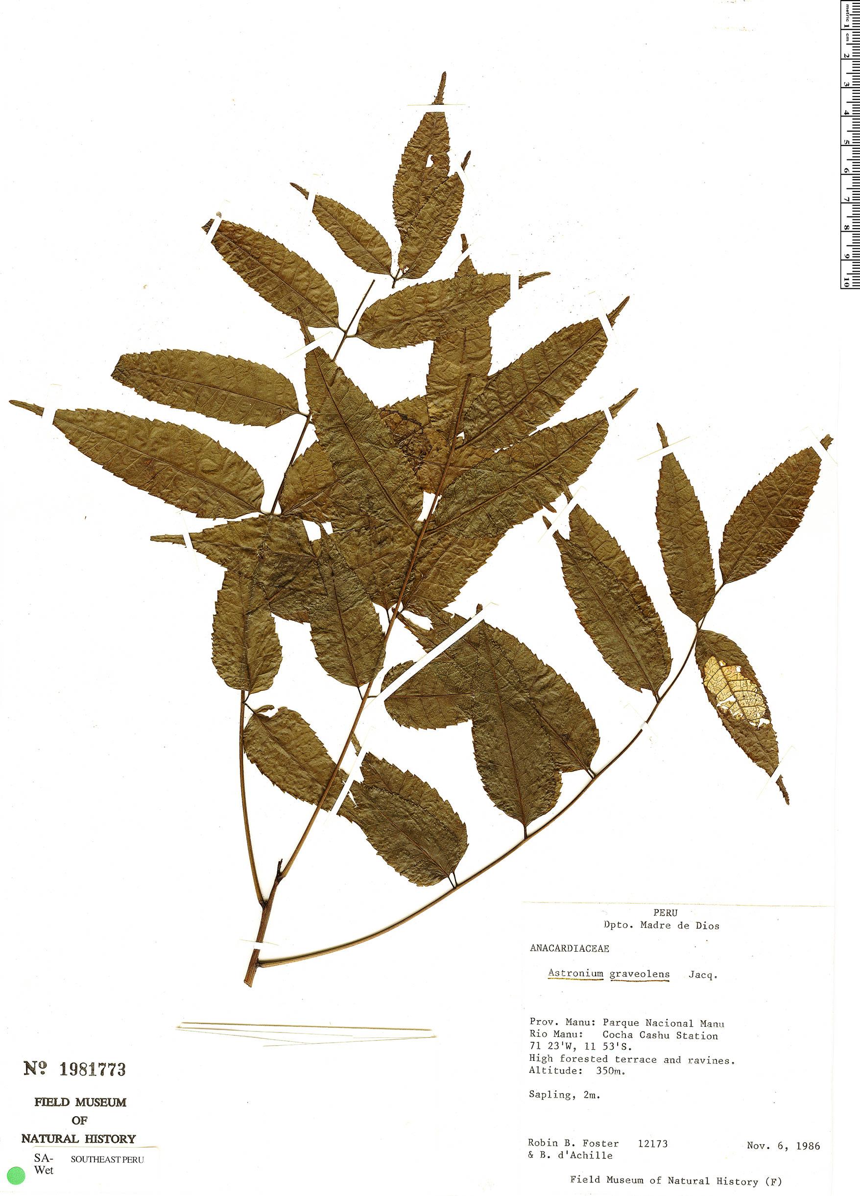 Specimen: Astronium graveolens