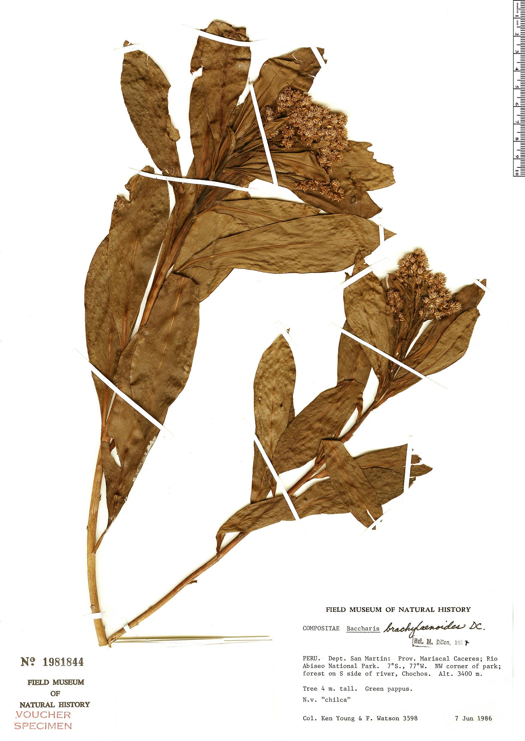 Specimen: Baccharis brachylaenoides