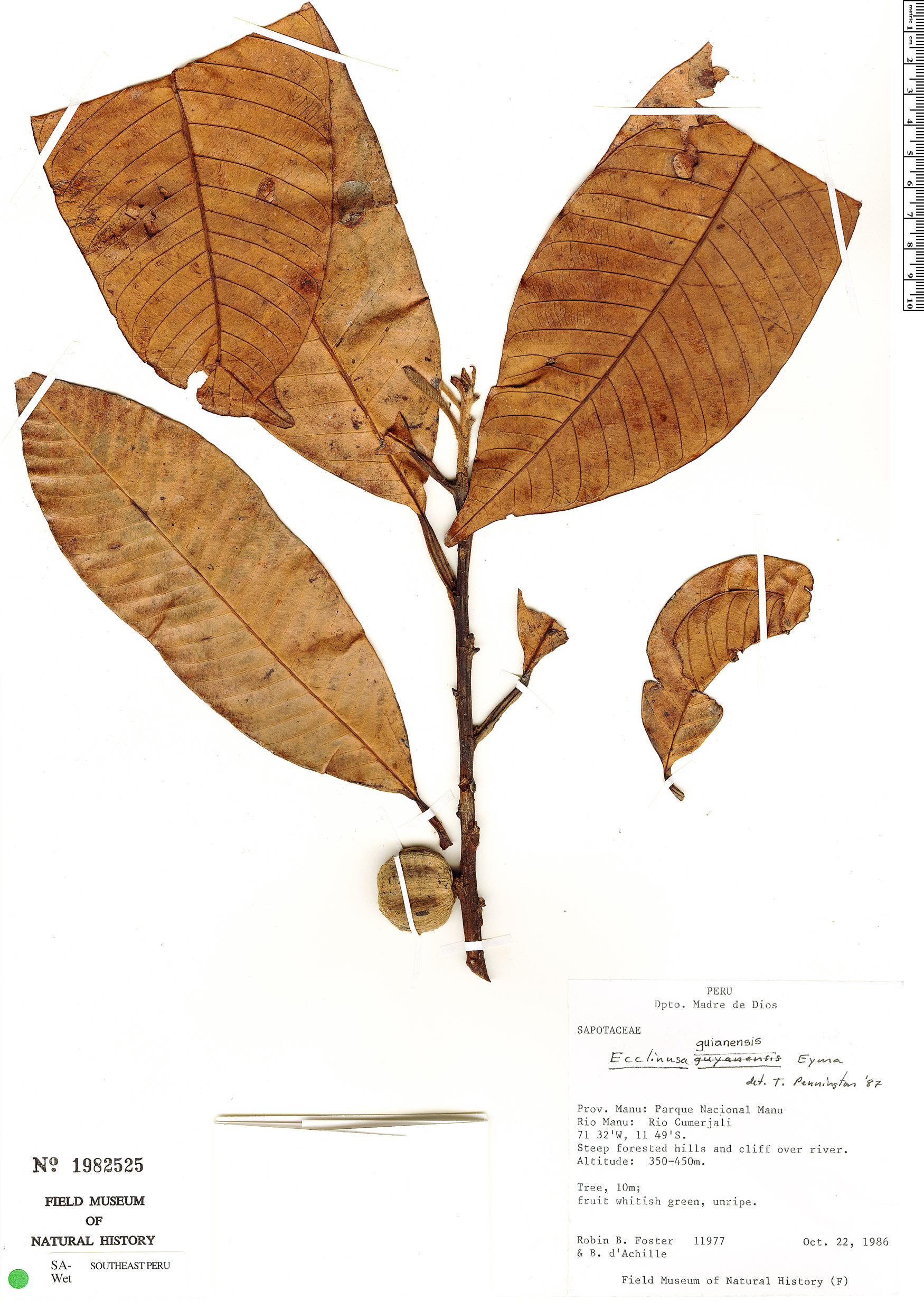 Specimen: Ecclinusa guianensis