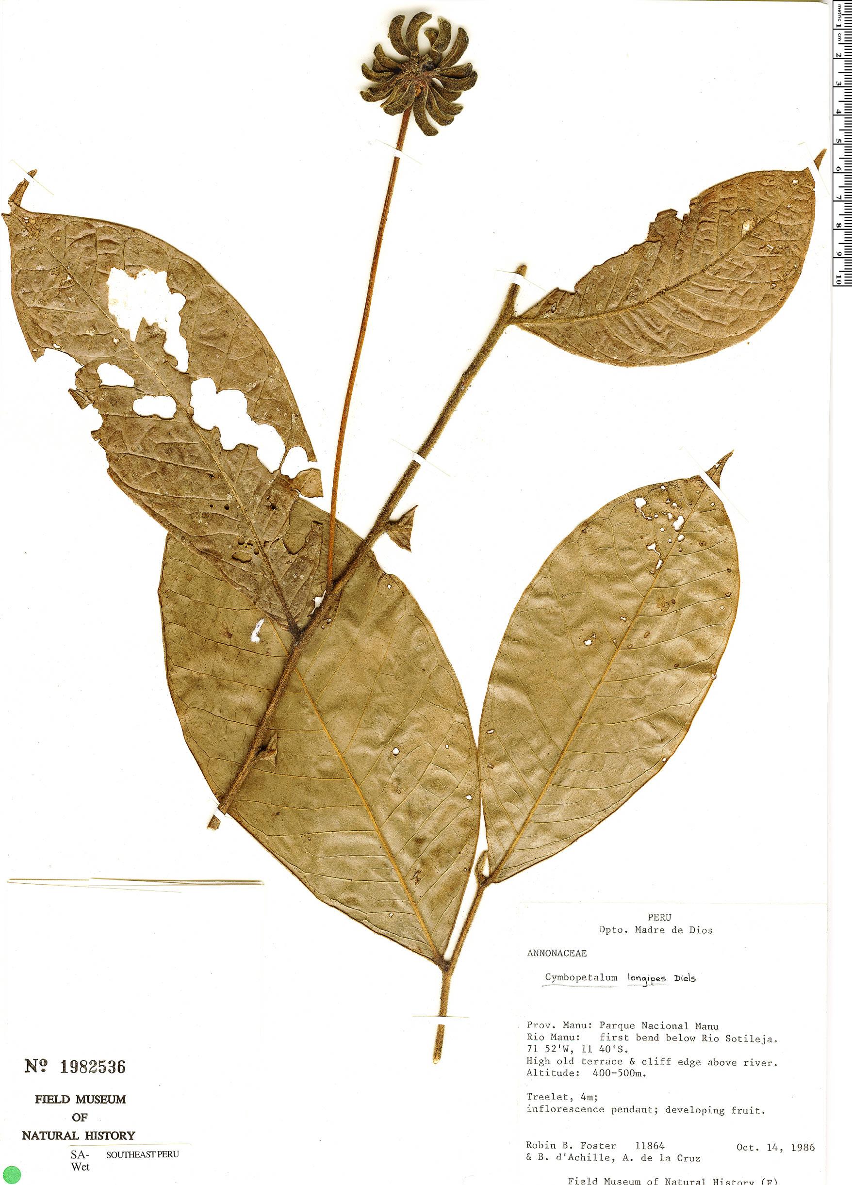 Specimen: Cymbopetalum longipes
