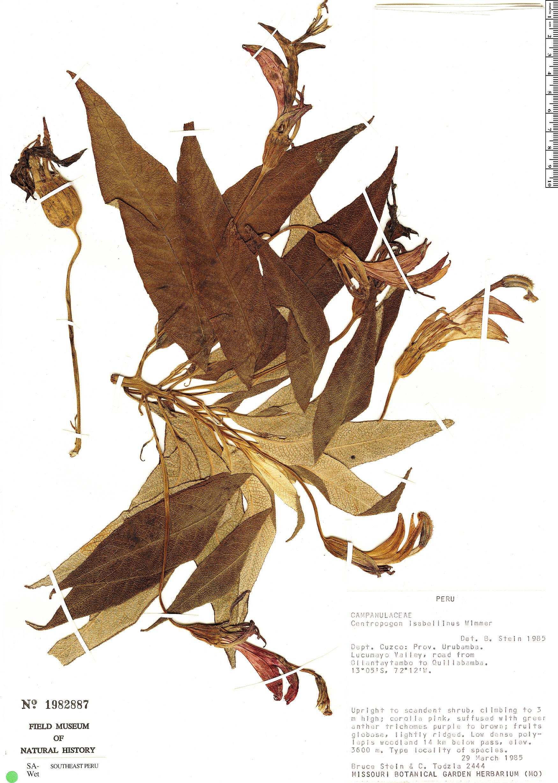 Specimen: Centropogon isabellinus