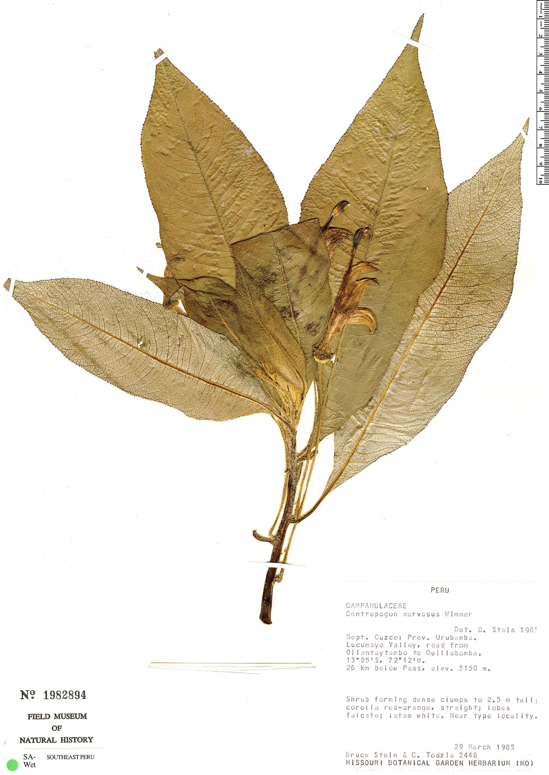 Specimen: Centropogon nervosus