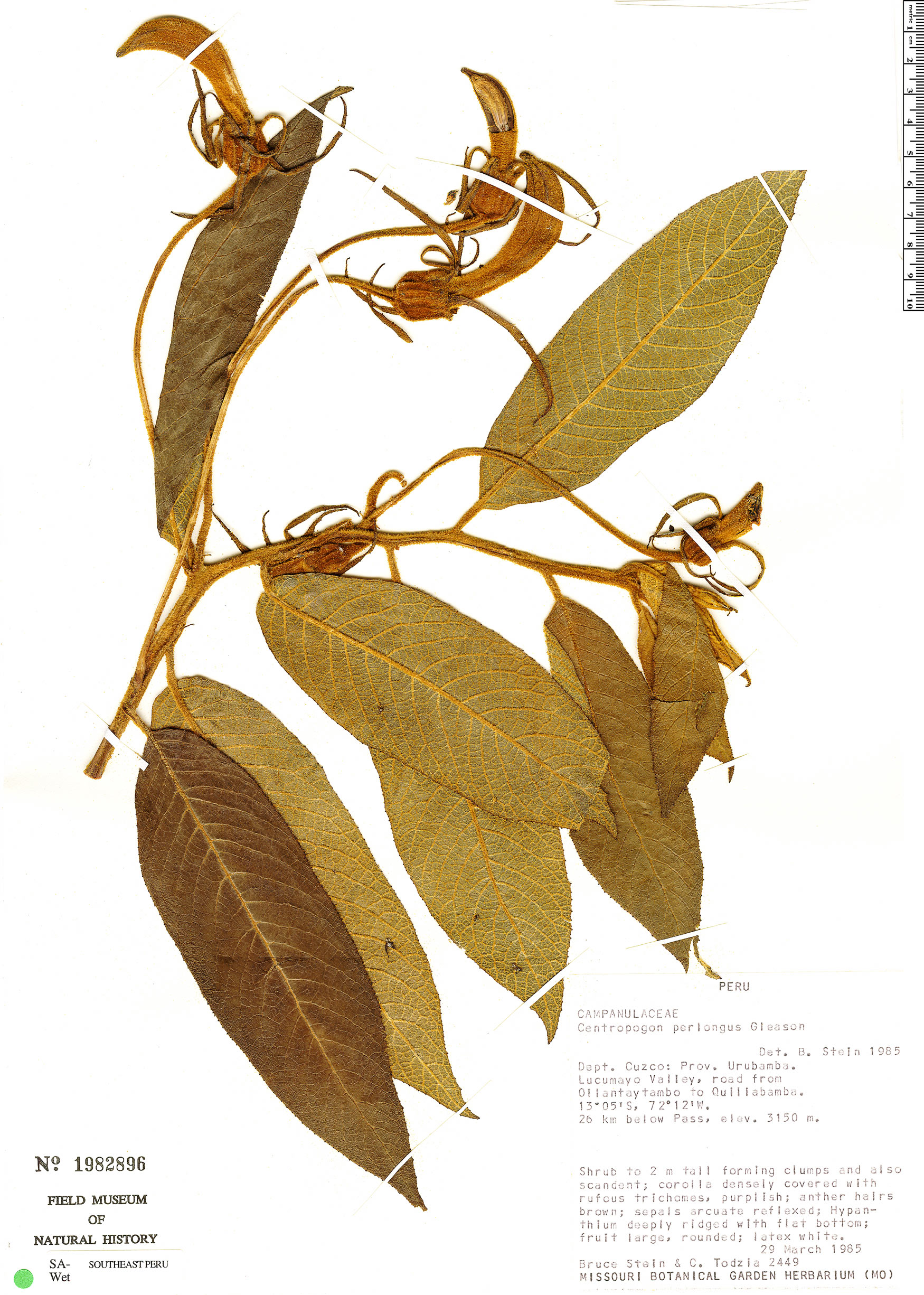 Specimen: Centropogon perlongus