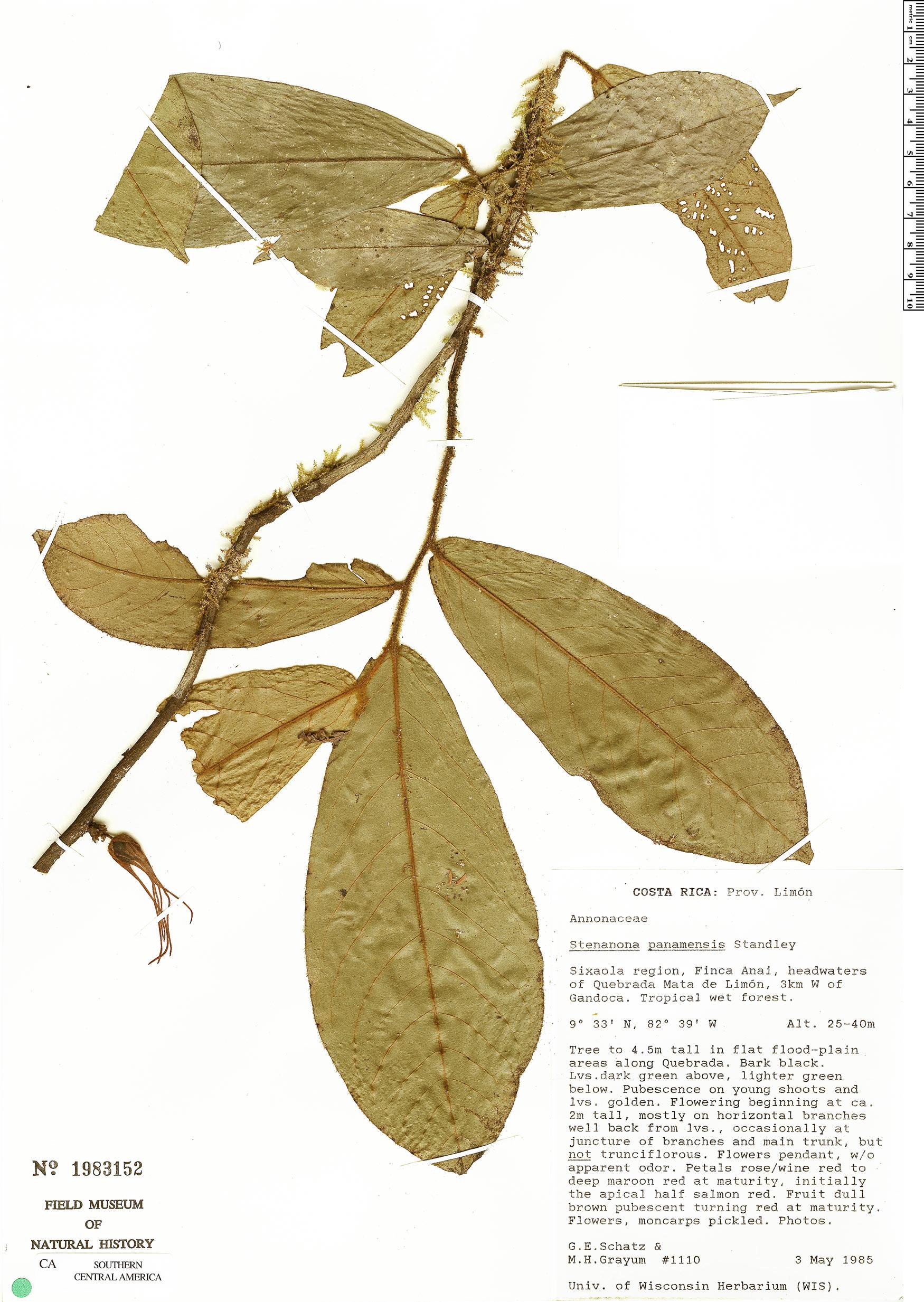 Specimen: Stenanona panamensis