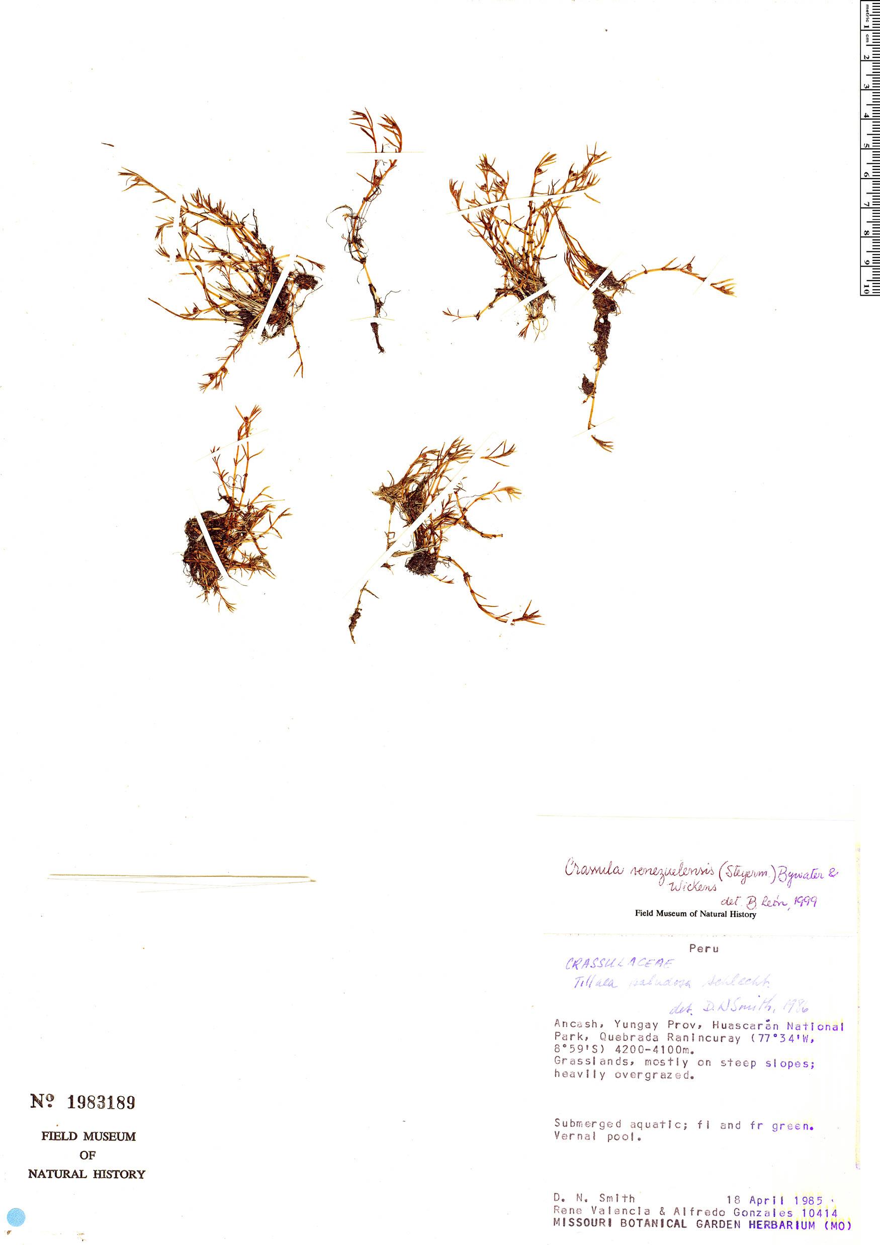 Specimen: Crassula venezuelensis