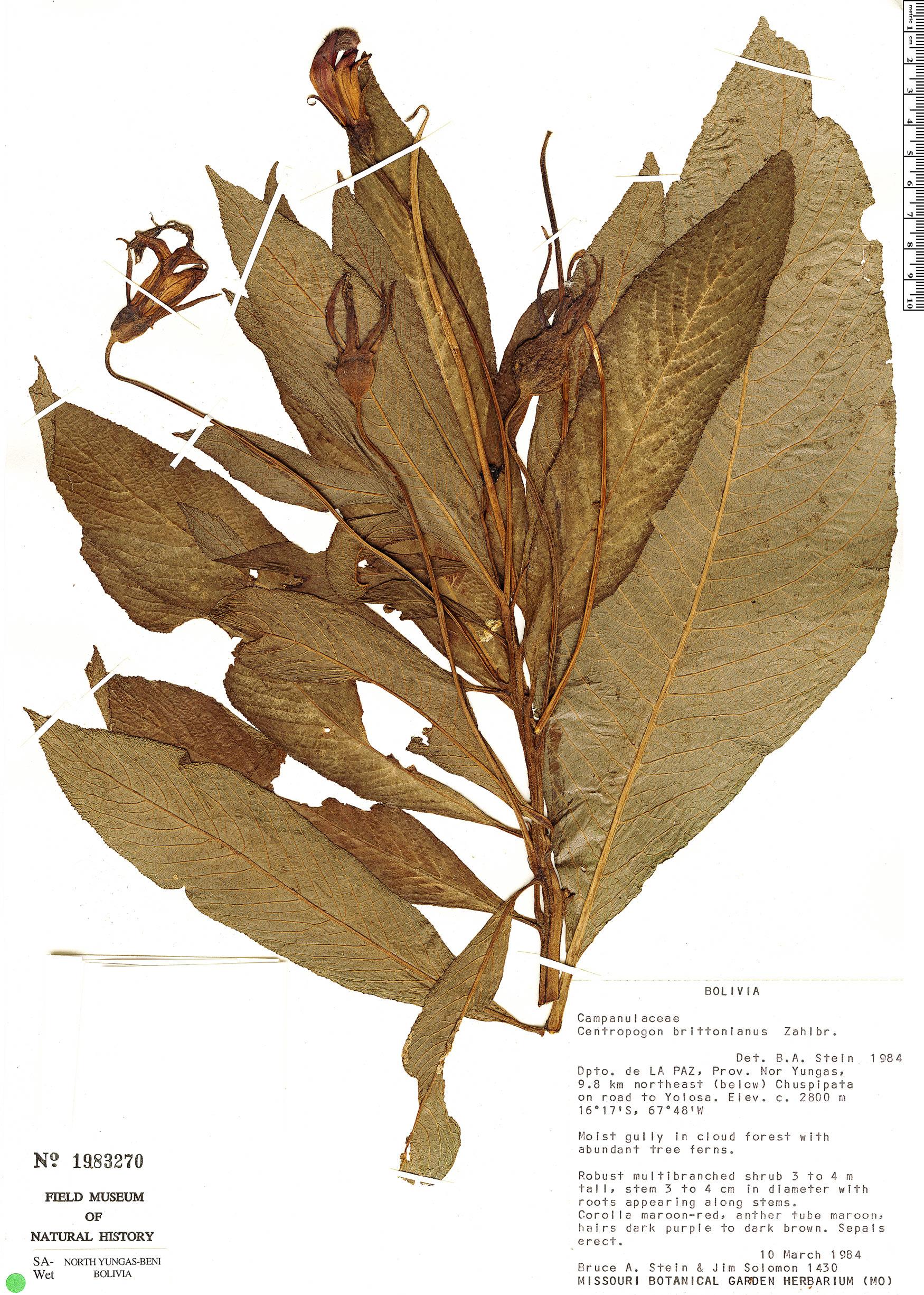 Specimen: Centropogon brittonianus