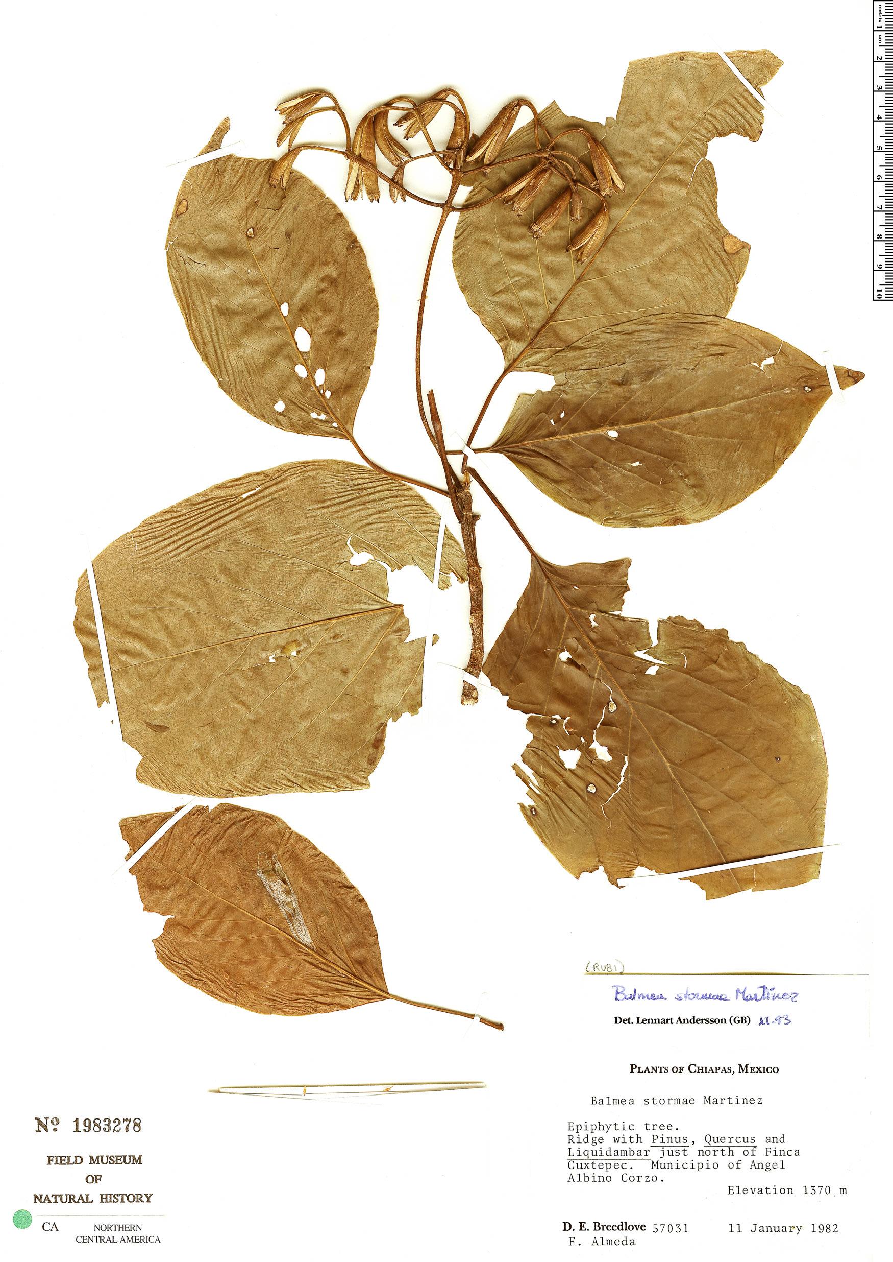 Specimen: Balmea stormiae
