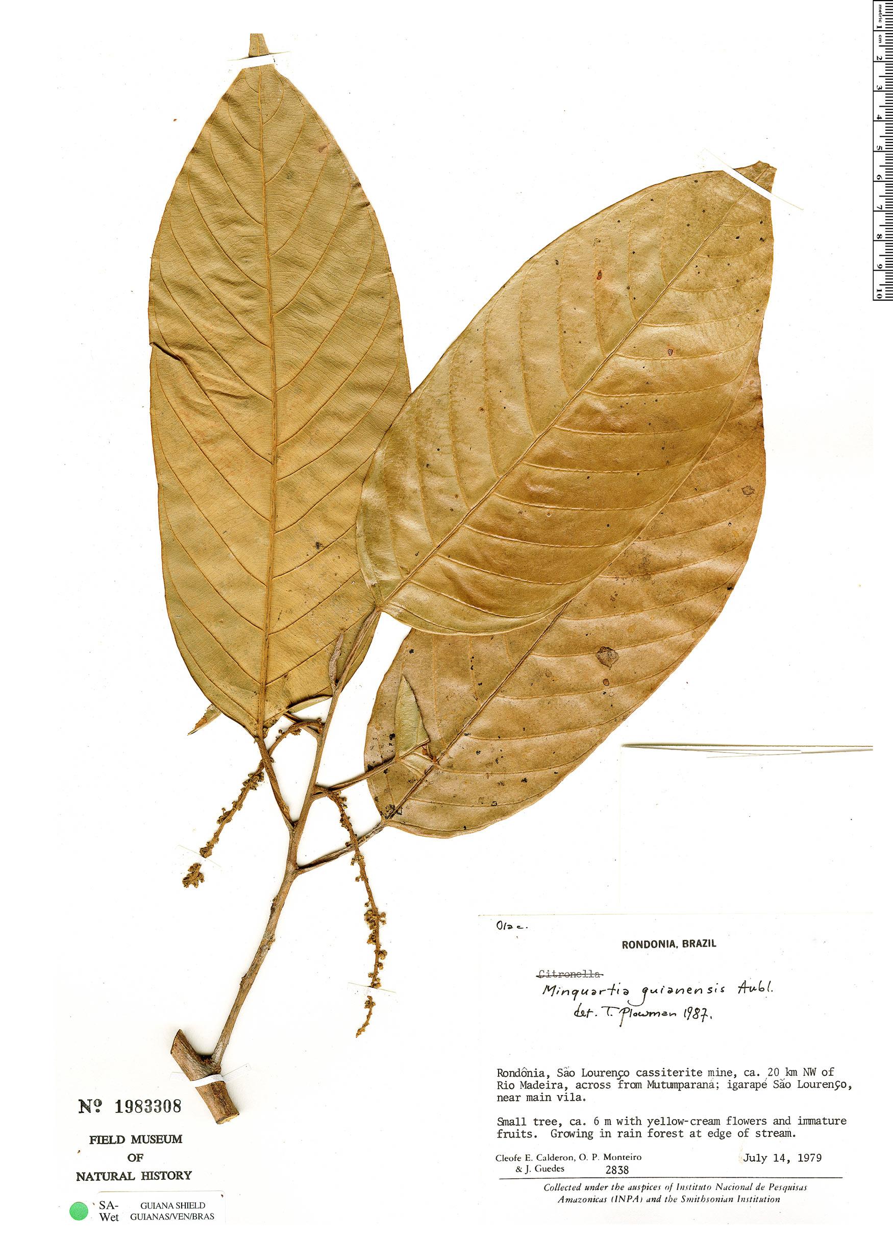 Specimen: Minquartia guianensis