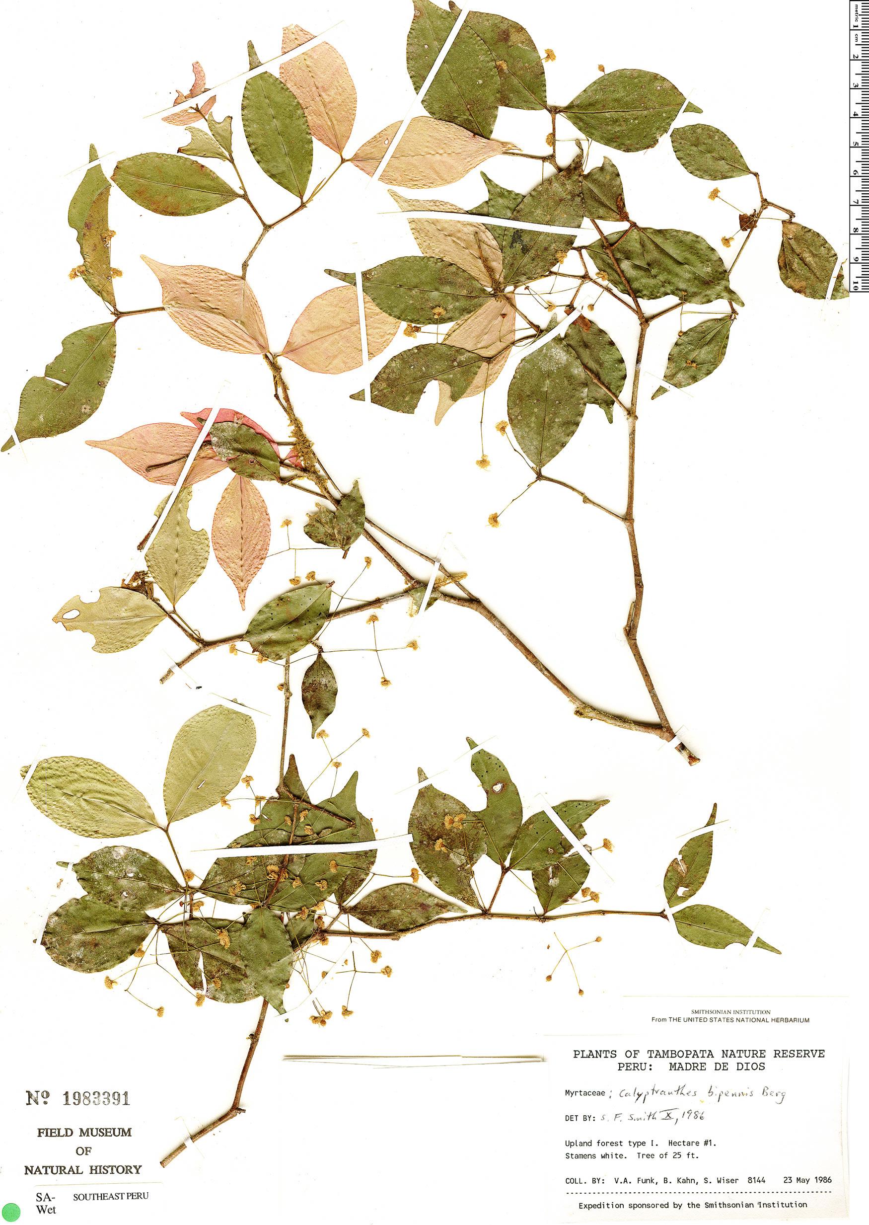Specimen: Calyptranthes bipennis