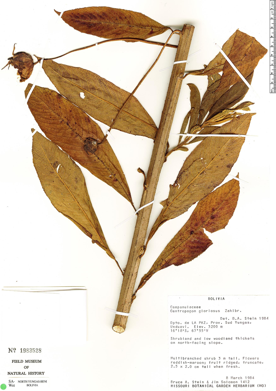 Specimen: Centropogon gloriosus