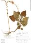 Salvia alborosea Epling & Játiva, S. Llatas Quiroz 2141, F