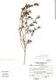 Salvia pseudorosmarinus Epling, Peru, A. Sagástegui A. 11887, F