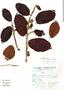 Ficus trigona L. f., Peru, S. Llatas Quiroz 2009, F