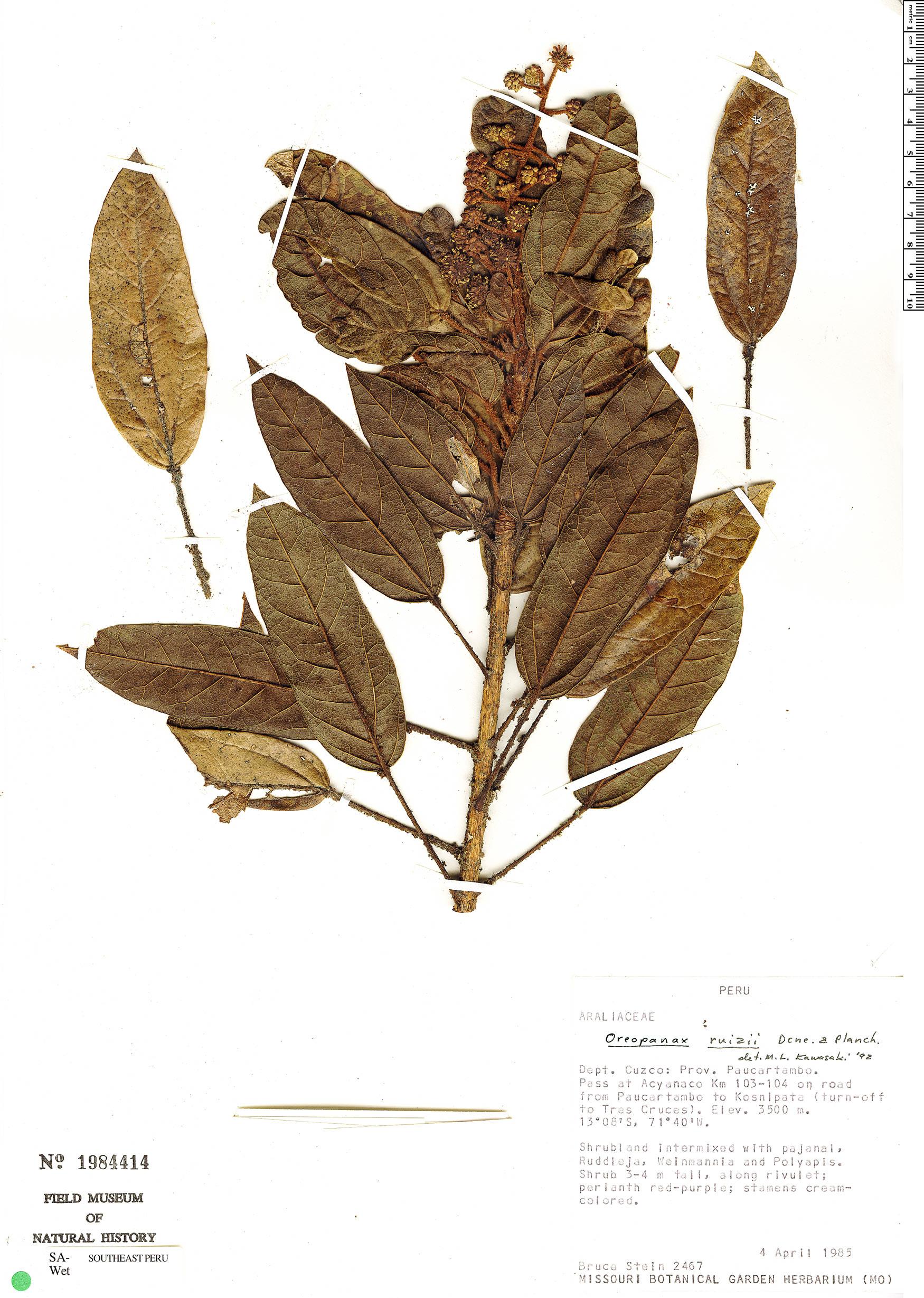 Specimen: Oreopanax ruizii
