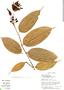 Cavendishia tarapotana (Meisn.) Benth. & Hook. f., Ecuador, S. Thompson 1046, F