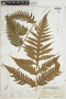 The Pteridological Collections Consortium: An integrative approach to pteridophyte diversity over the last 420 million years - funded by the National Science Foundation (Award No. 1802352)