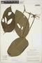 Monstera adansonii Schott, ECUADOR, J. B. Watson 268, F
